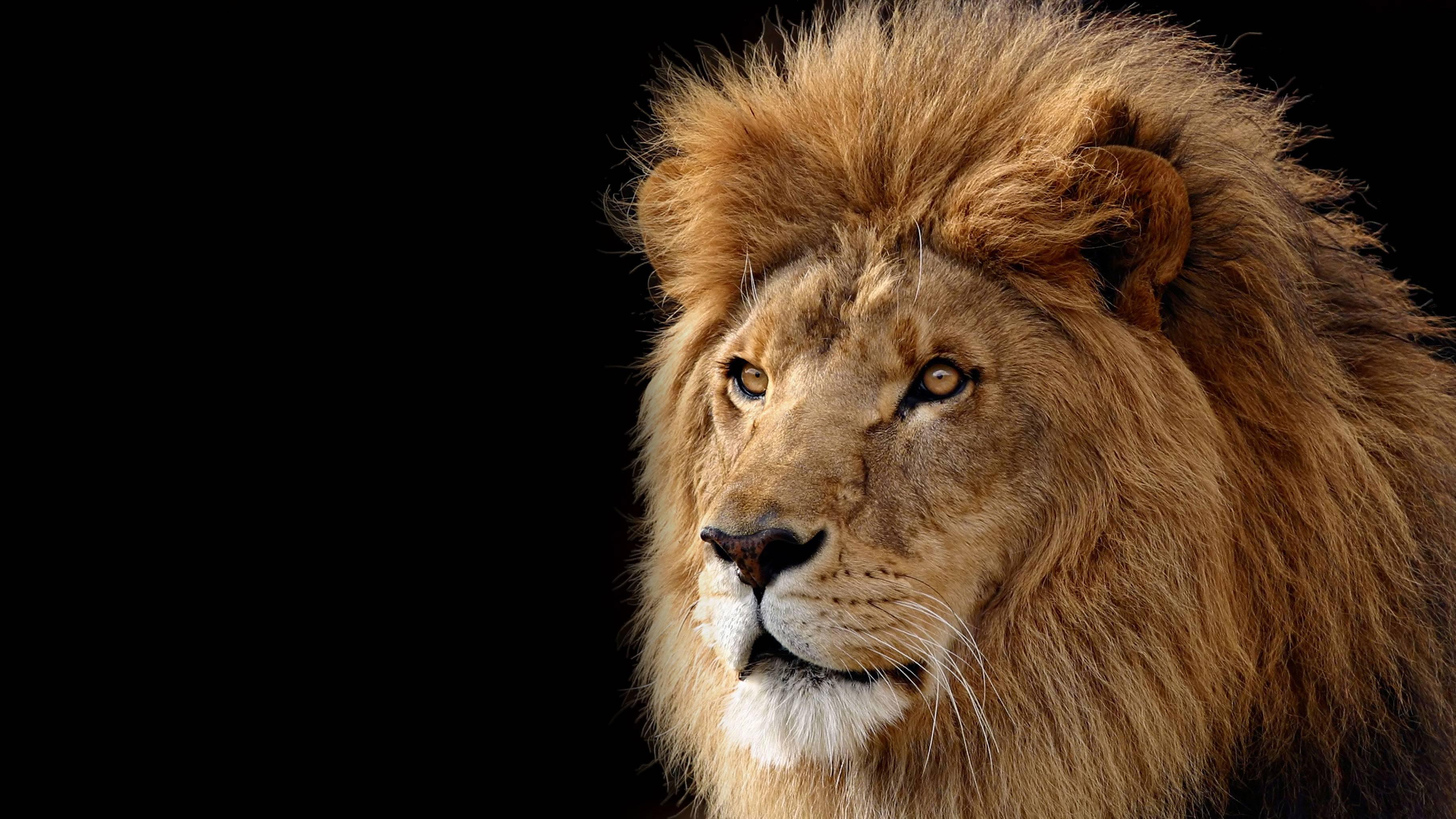 Lion Desktop Wallpapers Top Free Lion Desktop Backgrounds