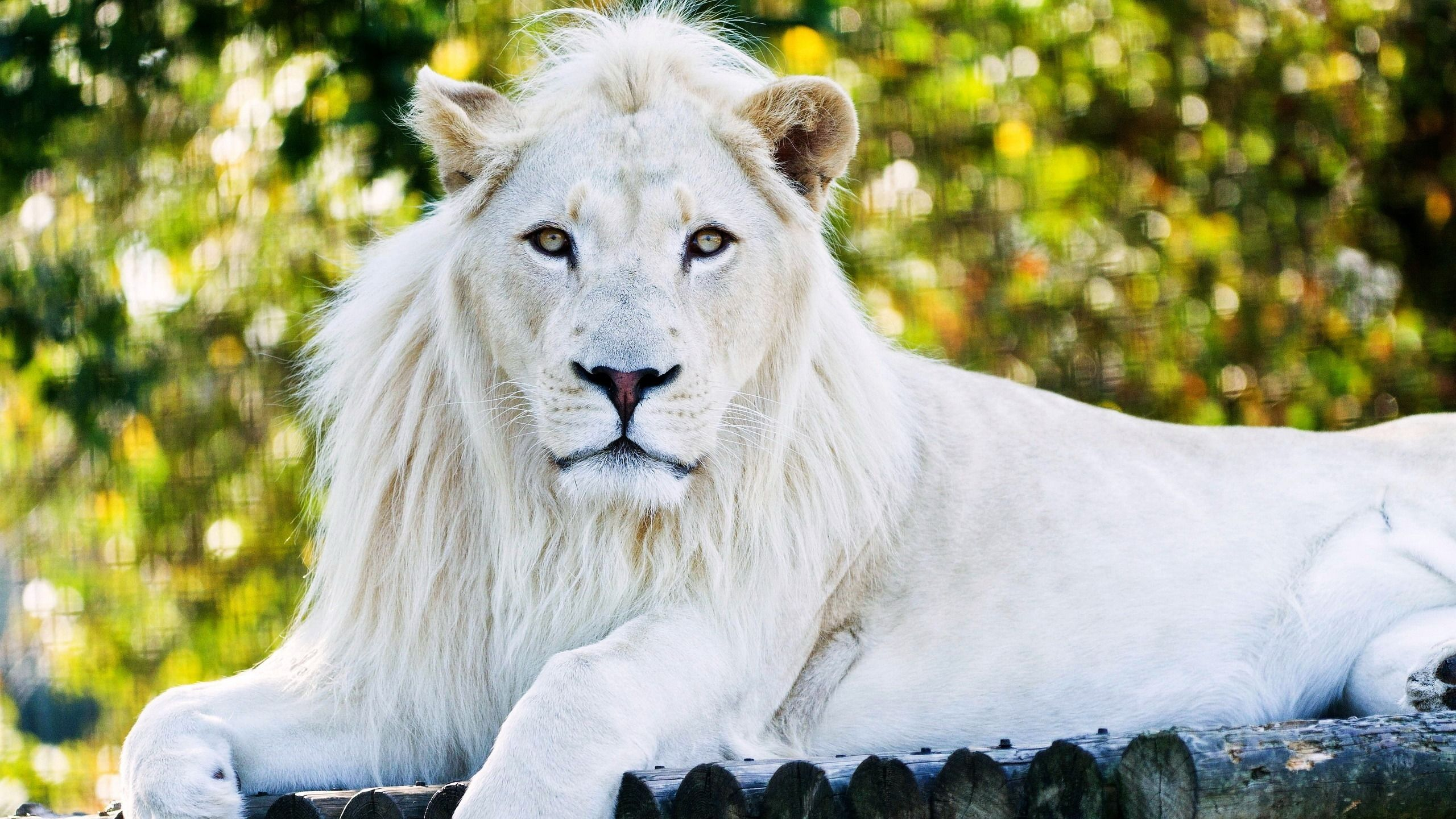 White Lion Wallpapers Top Free White Lion Backgrounds Images, Photos, Reviews