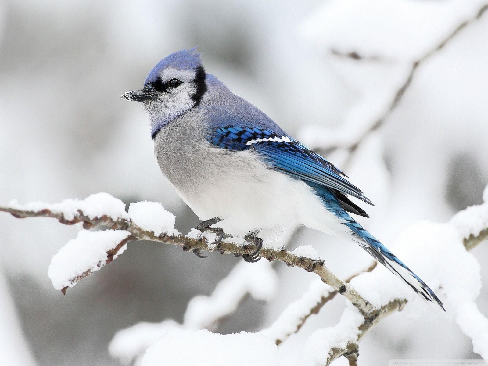 Winter Bird Wallpapers Top Free Winter Bird Backgrounds Wallpaperaccess