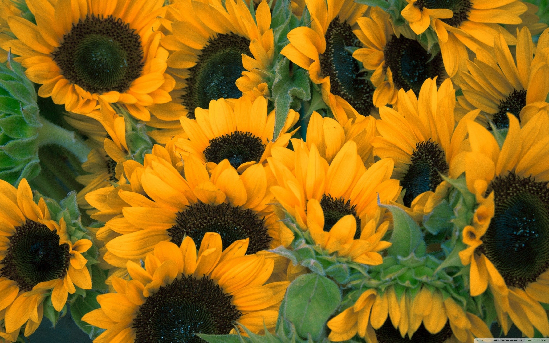 Sunflower Laptop Wallpapers - Top Free Sunflower Laptop ...