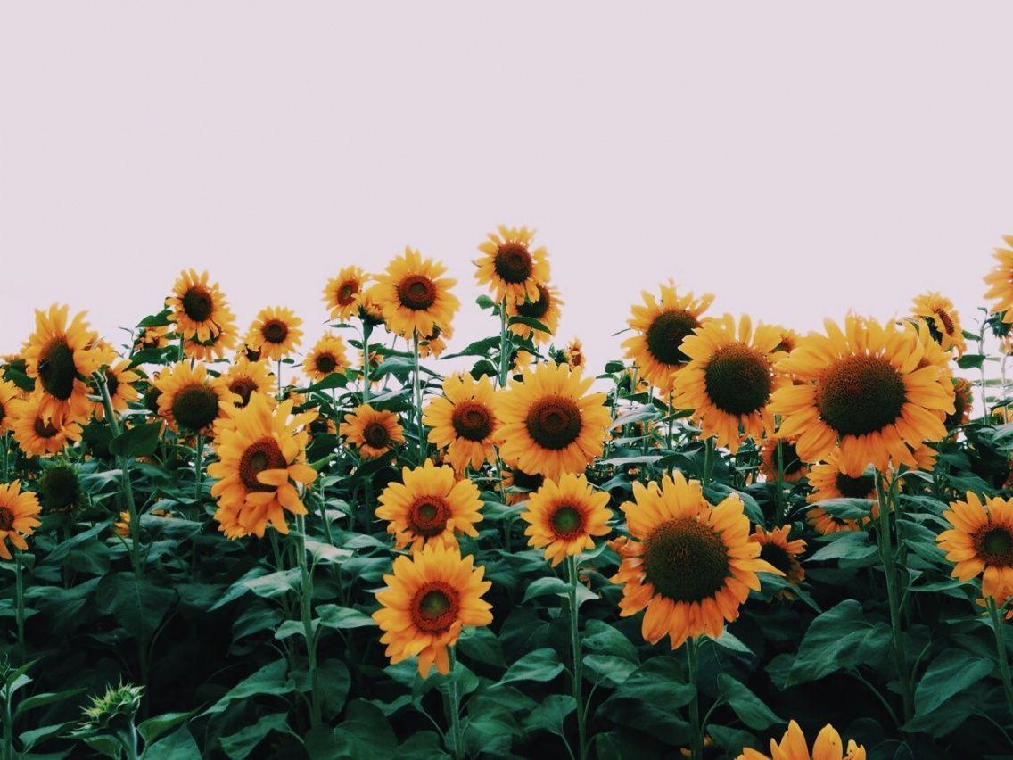 Vsco Sunflower Wallpapers Top Free Vsco Sunflower