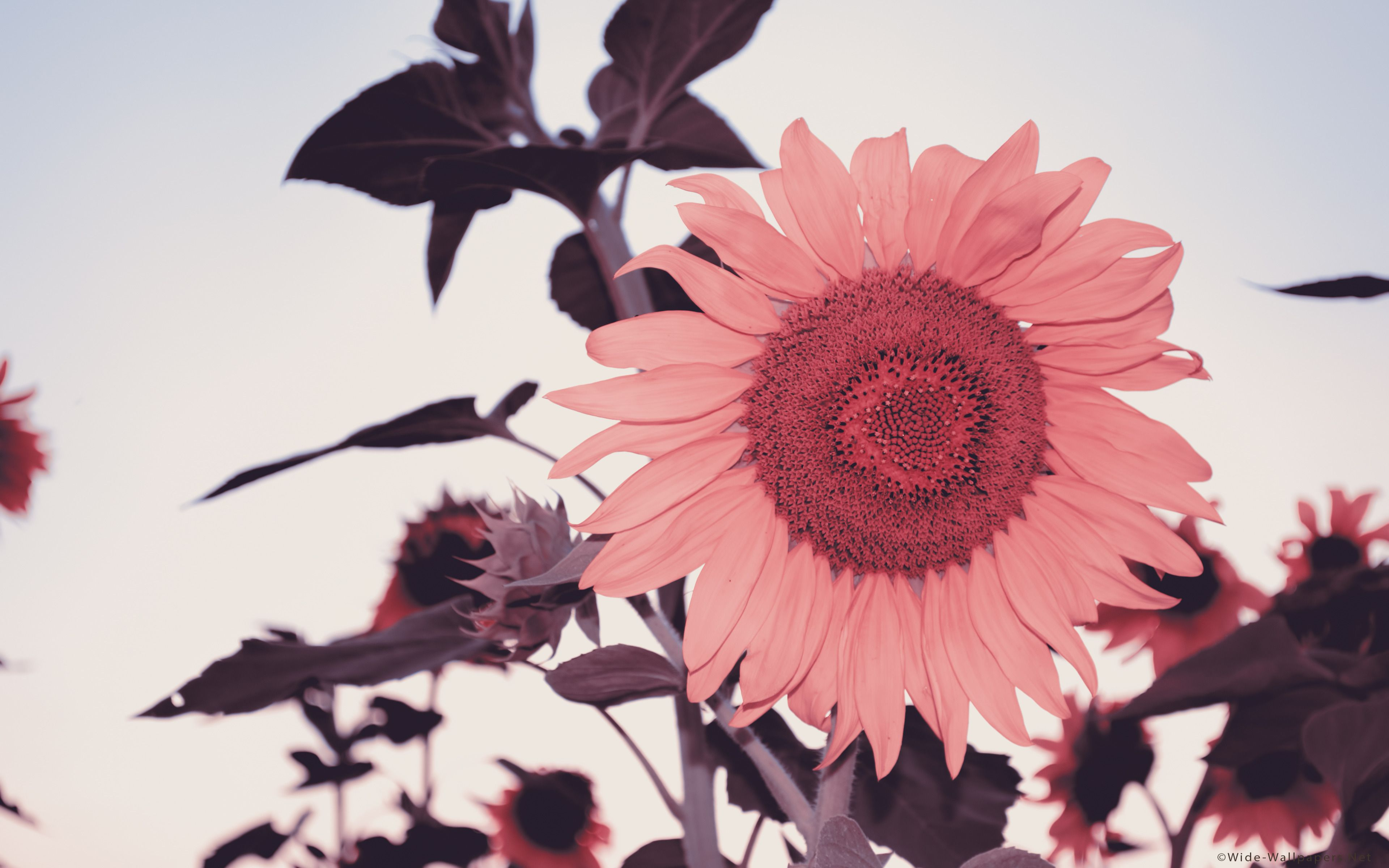 Pink Sunflower Wallpapers Top Free Pink Sunflower Backgrounds Wallpaperaccess