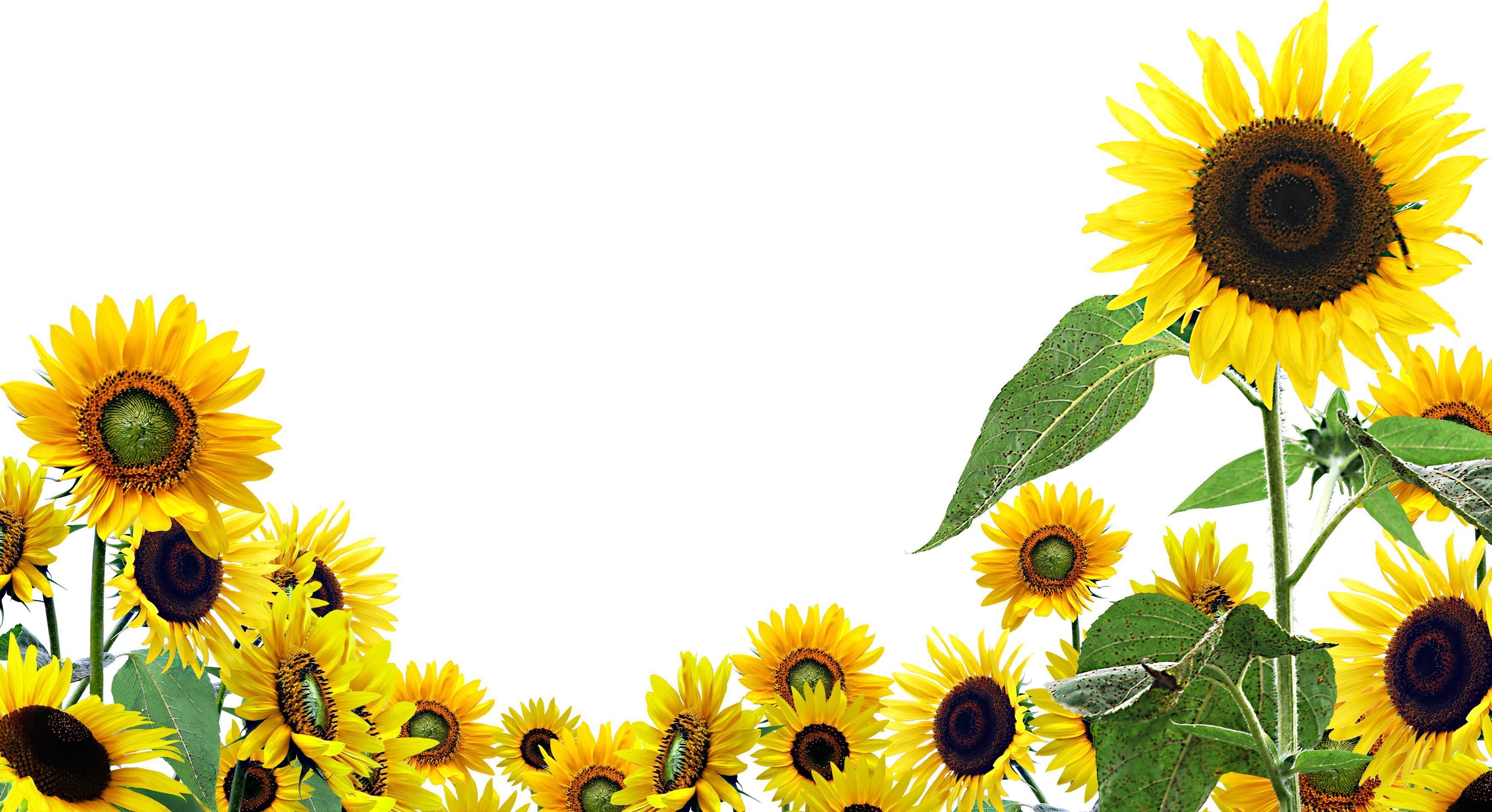 Cartoon Sunflower Wallpapers Top Free Cartoon Sunflower