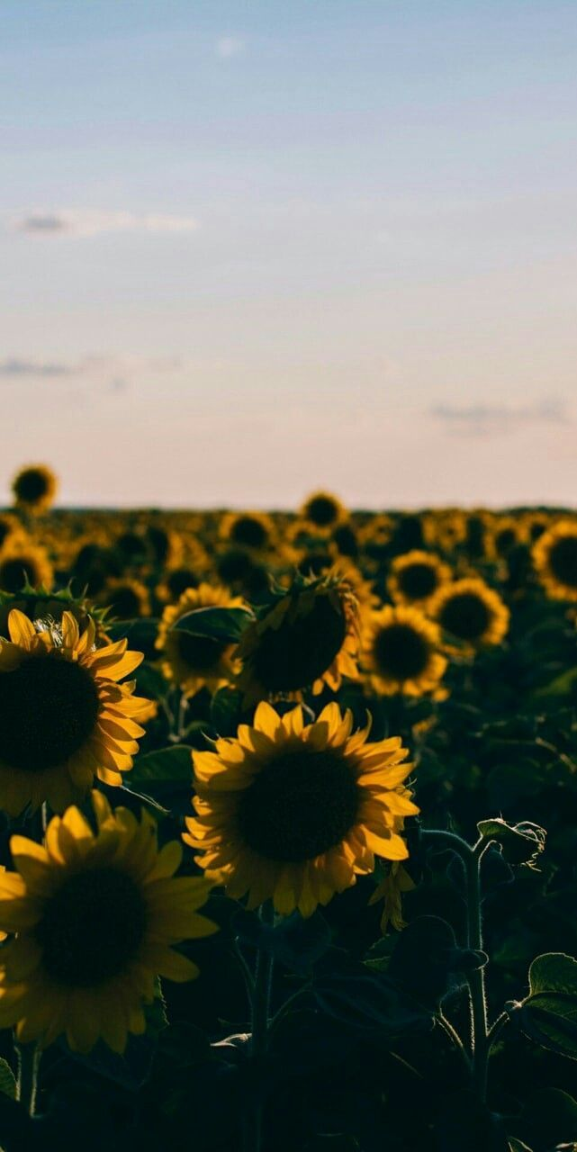Sunflower Yellow Tumblr Aesthetic Wallpapers Top Free Sunflower Yellow Tumblr Aesthetic Backgrounds Wallpaperaccess