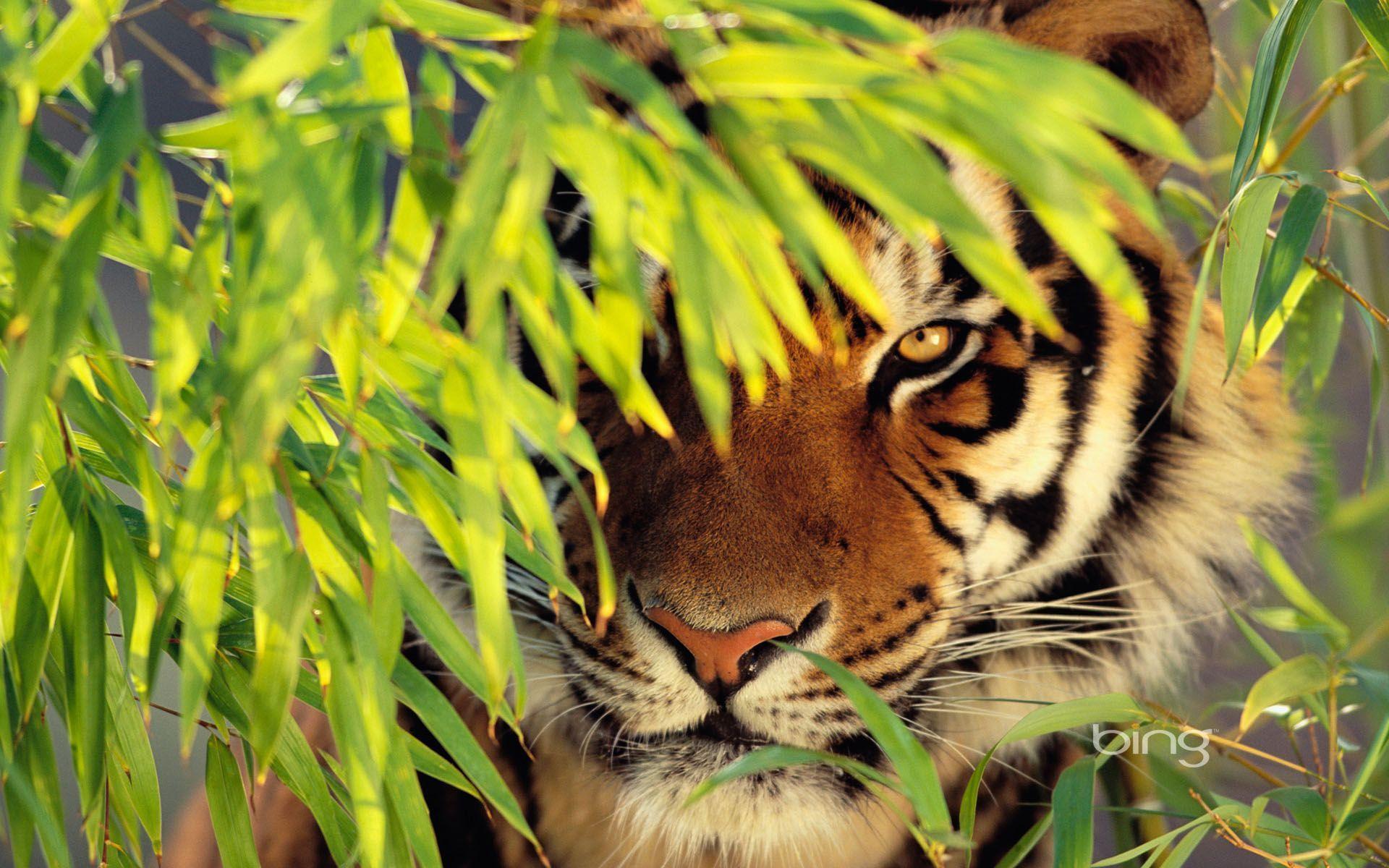 Tiger Desktop Wallpapers Top Free Tiger Desktop