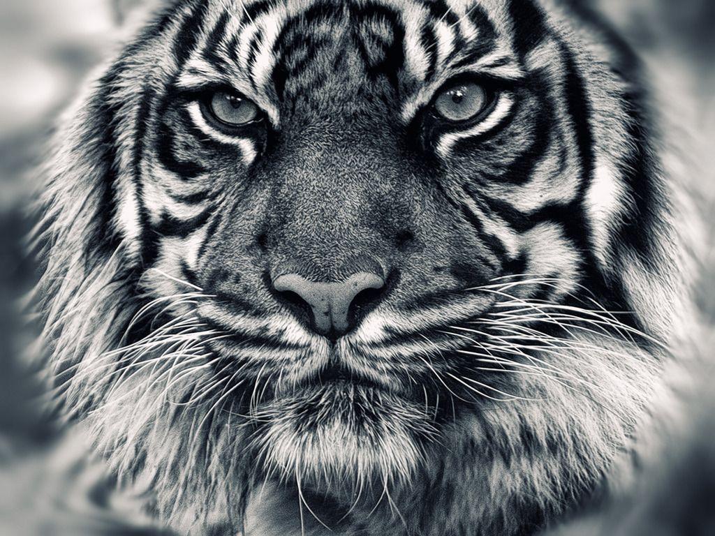 Black Tiger Wallpapers Top Free Black Tiger Backgrounds