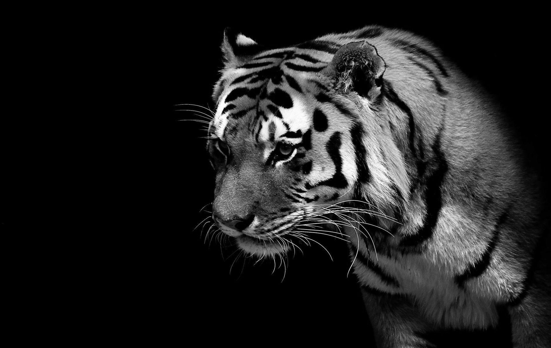 Black Tiger Wallpapers Top Free Black Tiger Backgrounds Wallpaperaccess