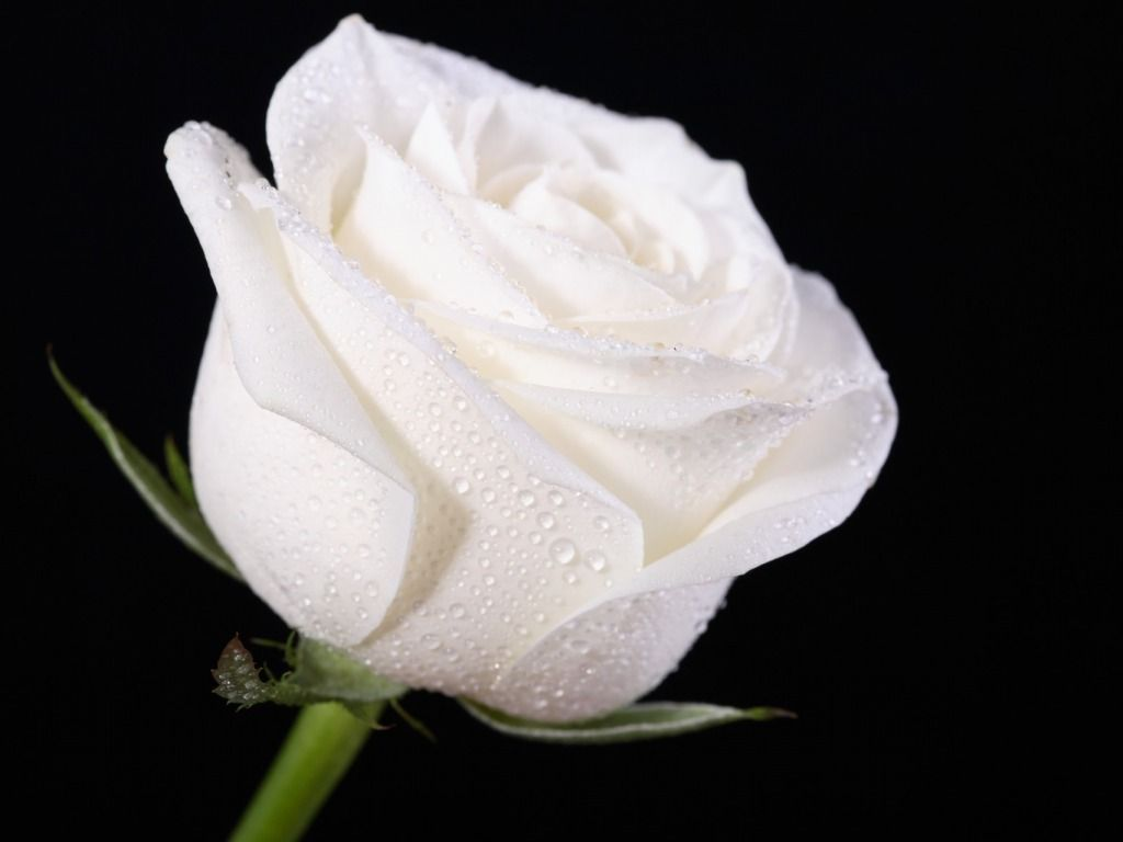 White Rose Wallpapers Top Free White Rose Backgrounds