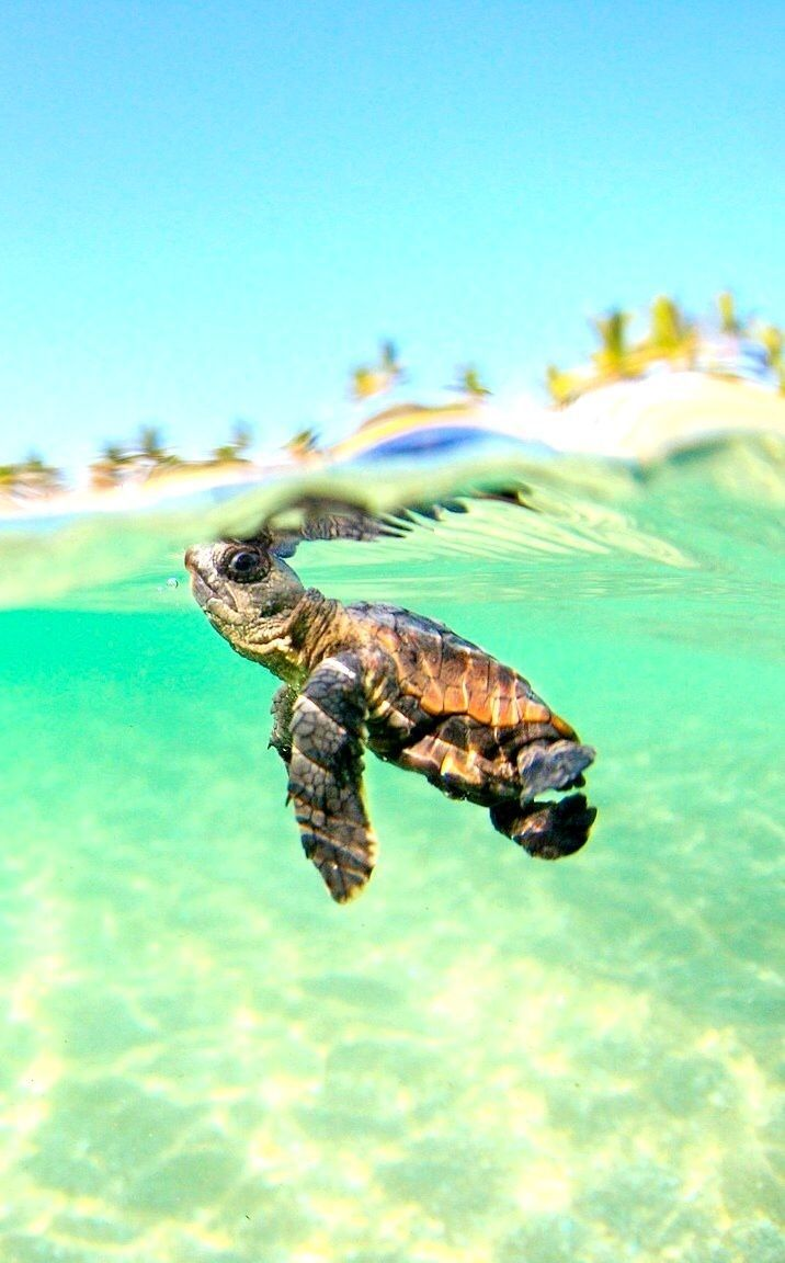 Turtle iPhone Wallpapers - Top Free