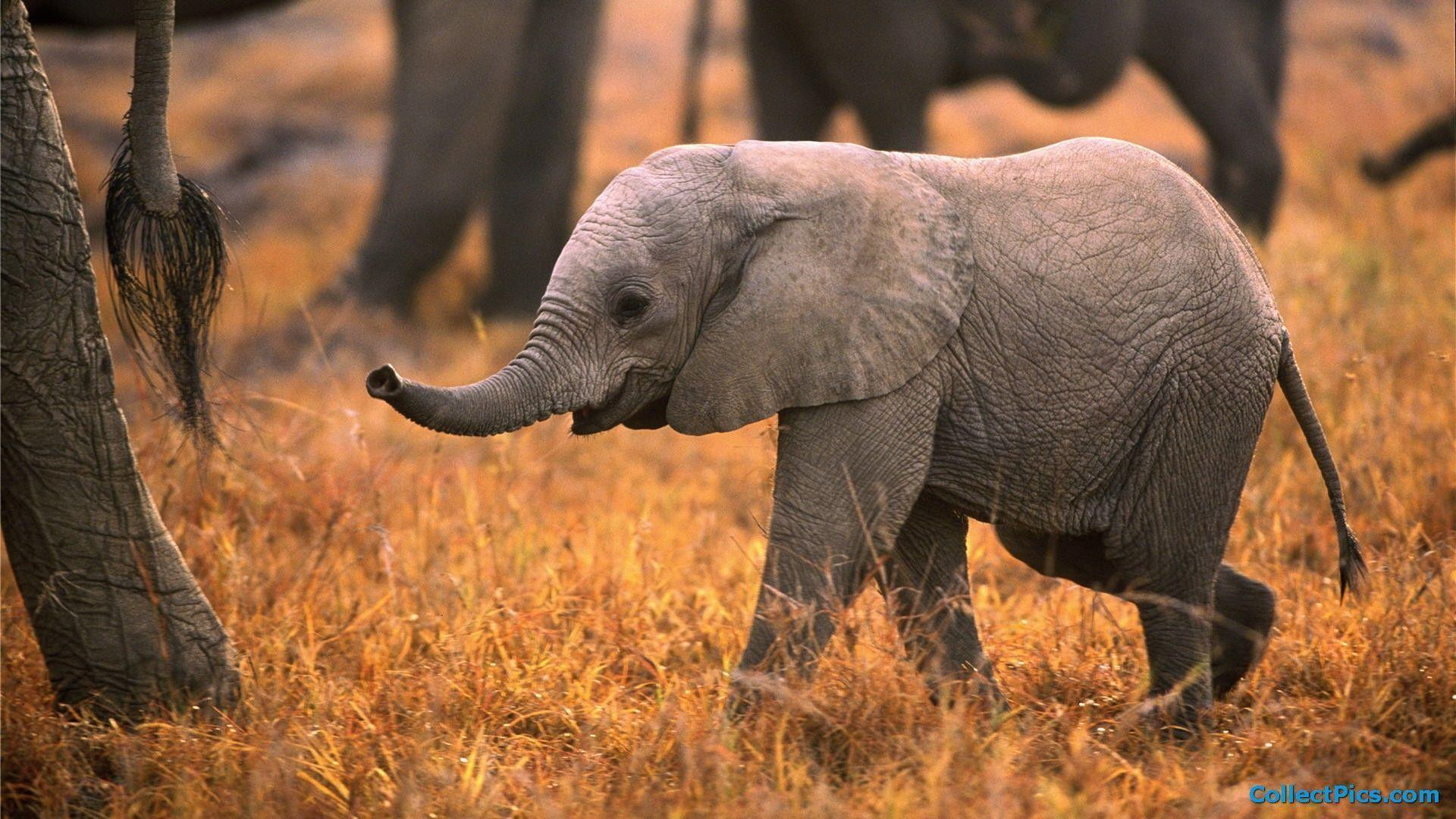 Baby Elephant Wallpapers Top Free Baby Elephant Backgrounds Wallpaperaccess