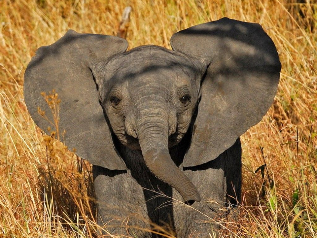 Baby Elephant Wallpapers Top Free Baby Elephant Backgrounds