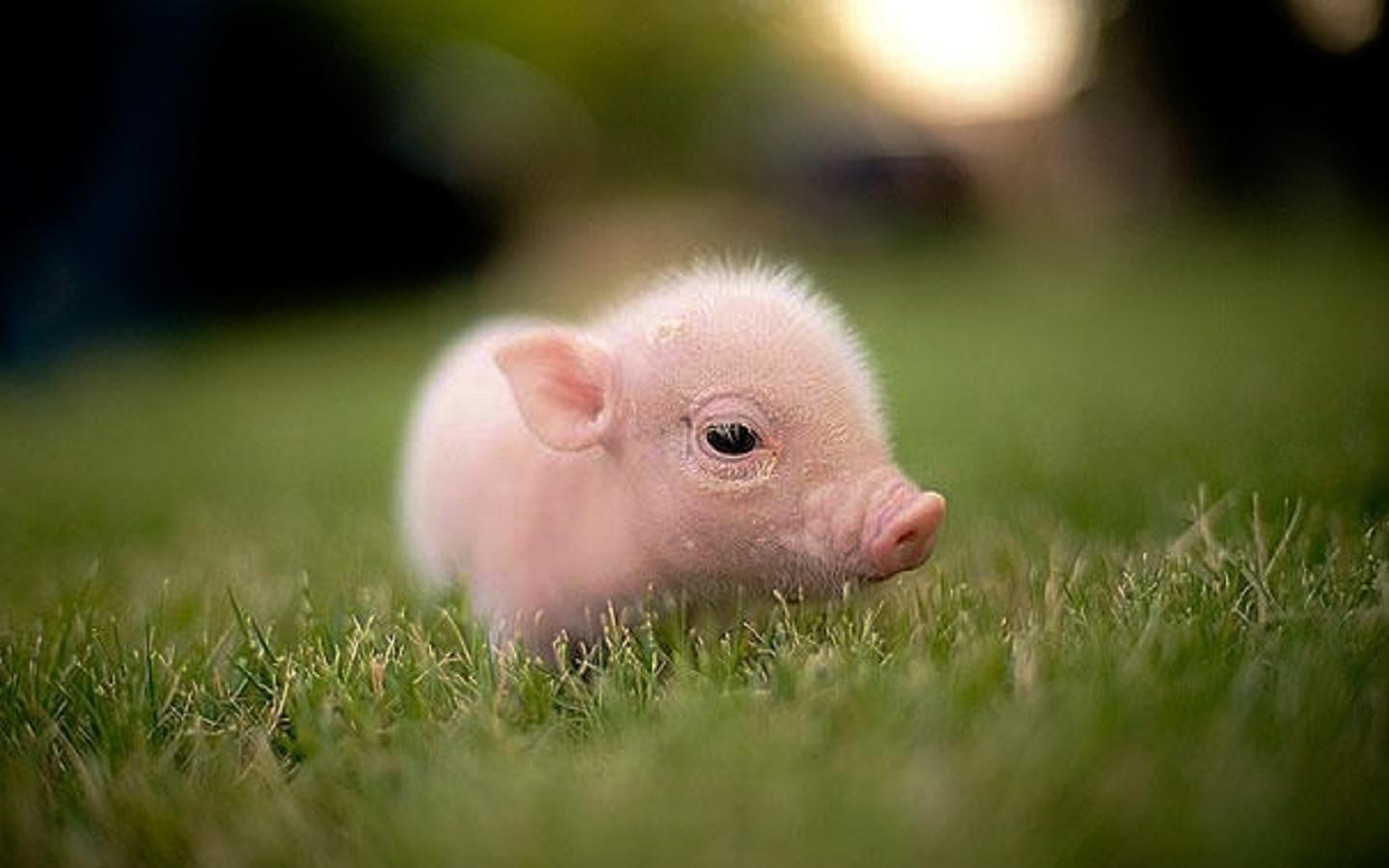 Baby Pigs Wallpapers - Top Free Baby ...