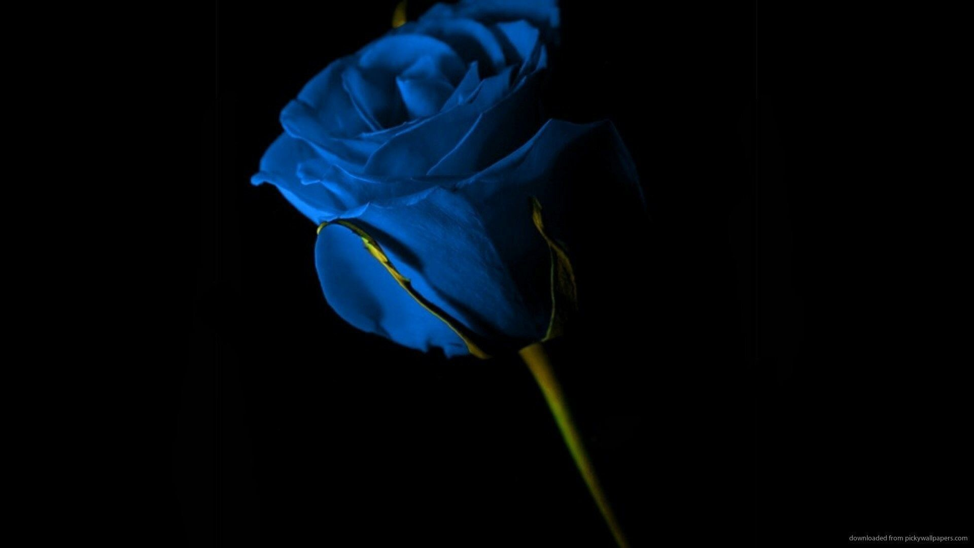 Black And Blue Rose Wallpapers Top Free Black And Blue Rose