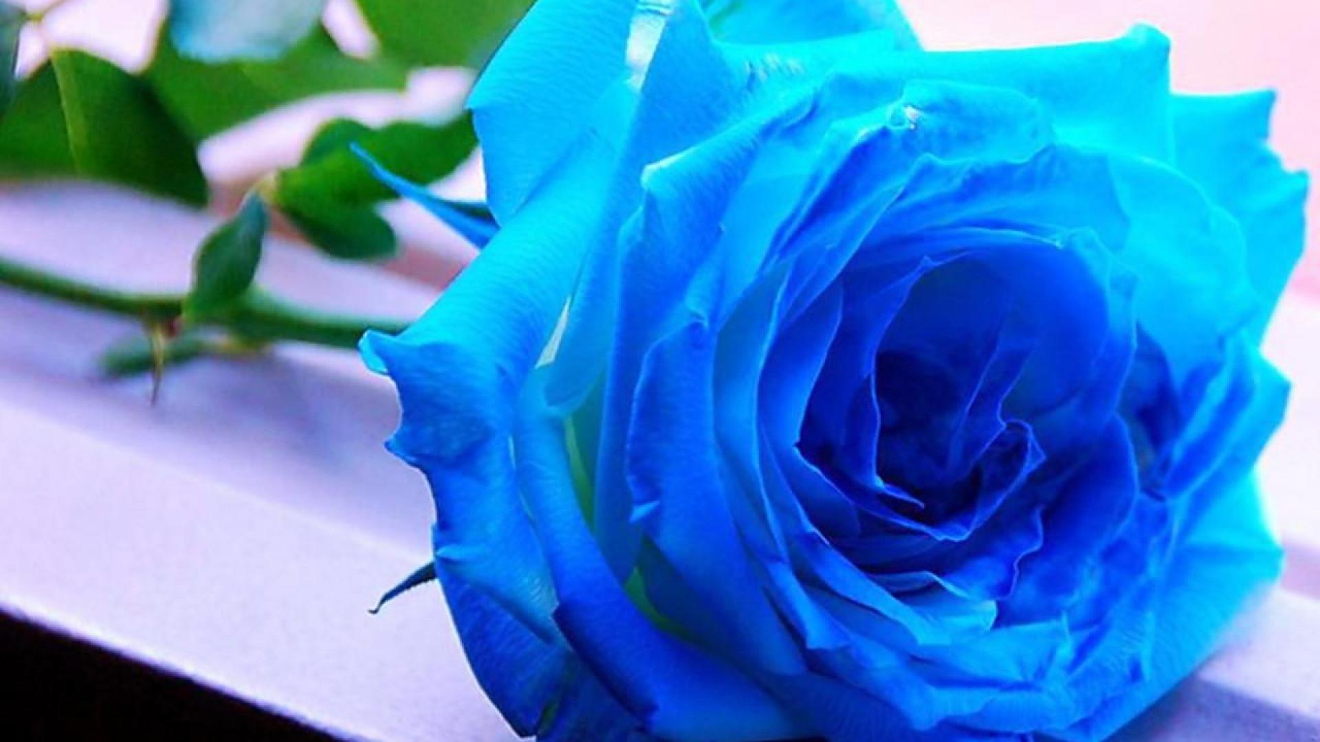 Black And Blue Rose Wallpapers Top Free Black And Blue Rose Backgrounds Wallpaperaccess
