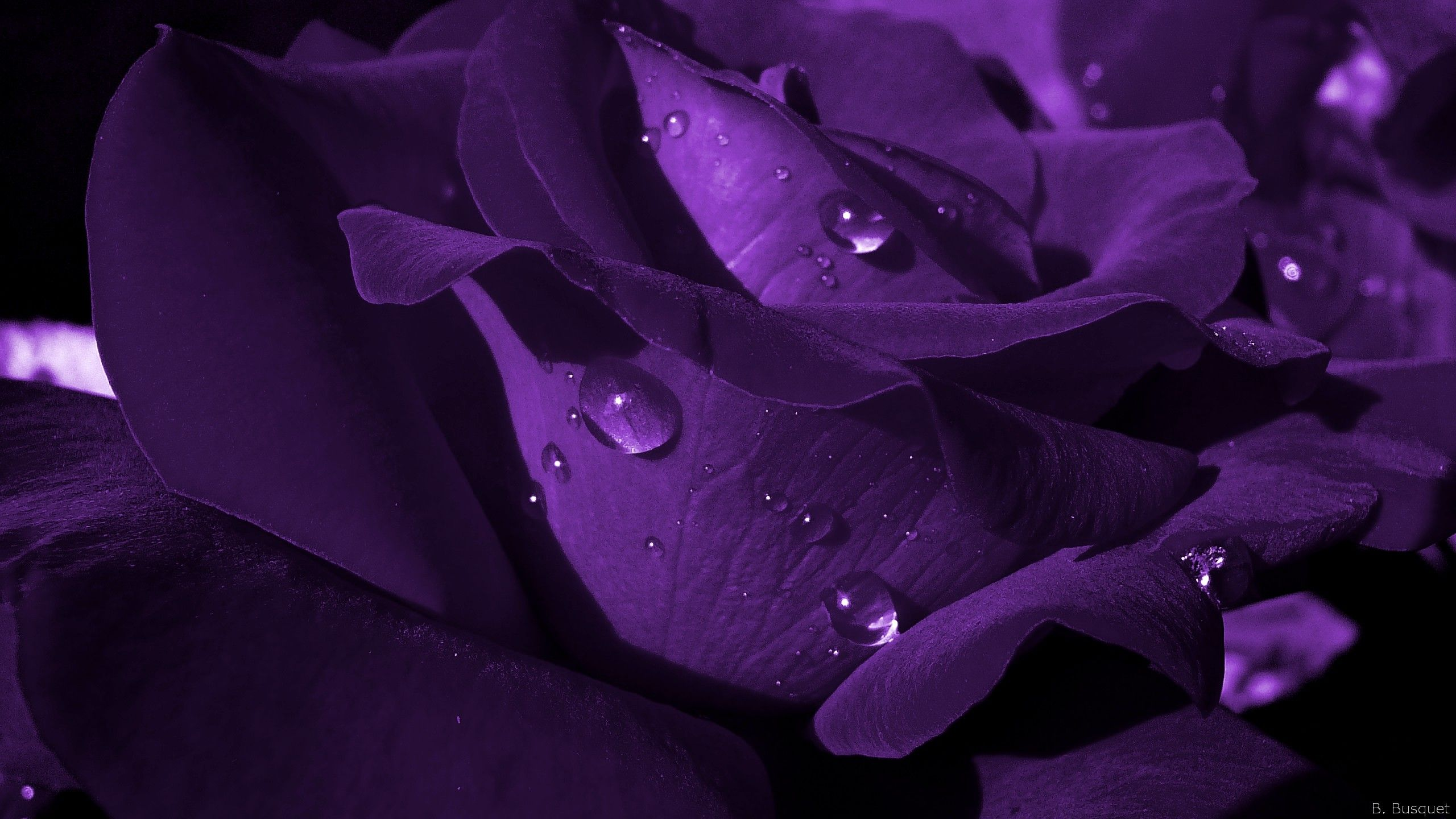 Purple And Black Rose Wallpapers Top Free Purple And Black Rose Backgrounds Wallpaperaccess
