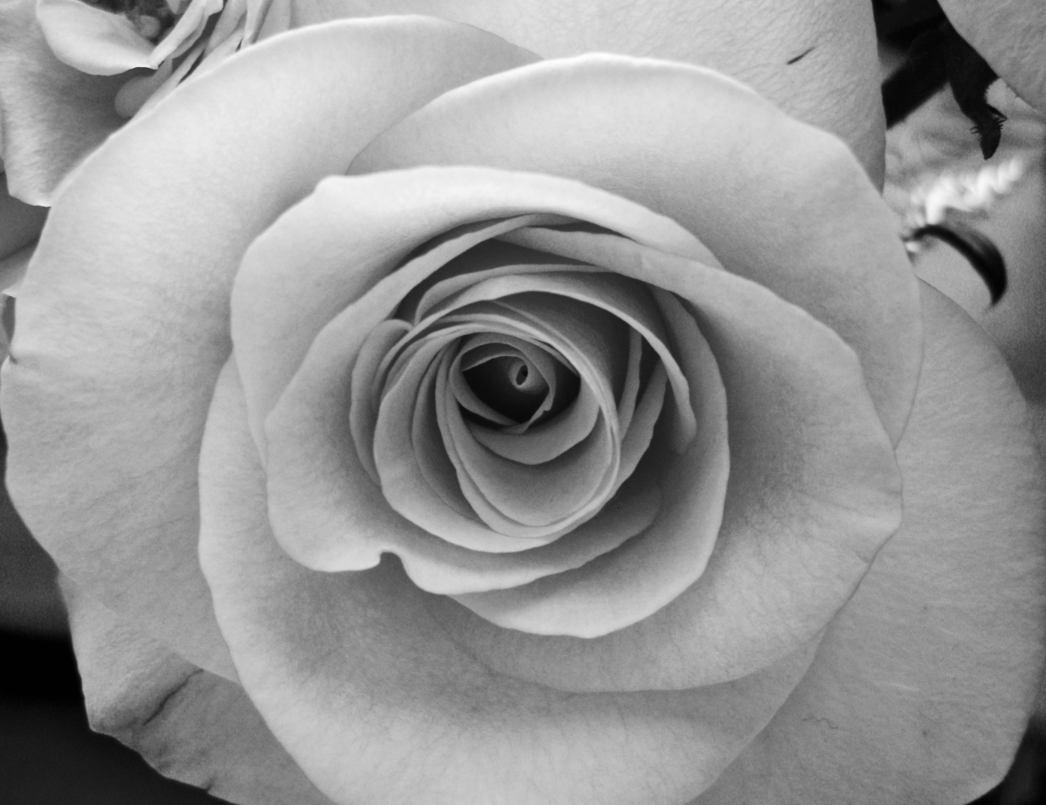 Black and White Rose Wallpapers - Top