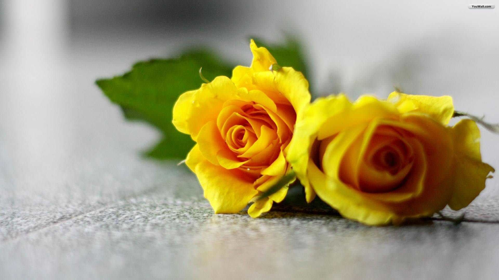 Yellow Rose Wallpapers Top Free Yellow Rose Backgrounds Wallpaperaccess
