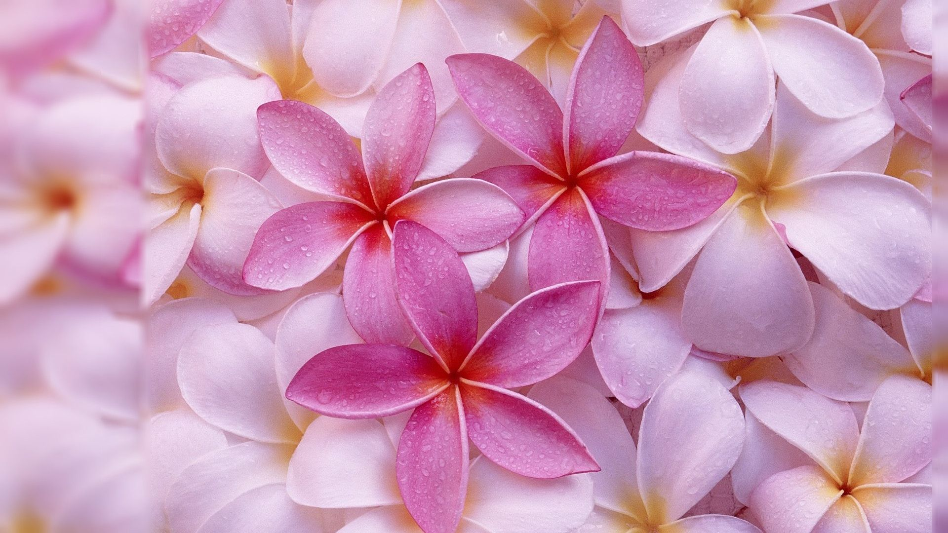 Pink Flowers Hd Wallpapers Top Free Pink Flowers Hd Backgrounds