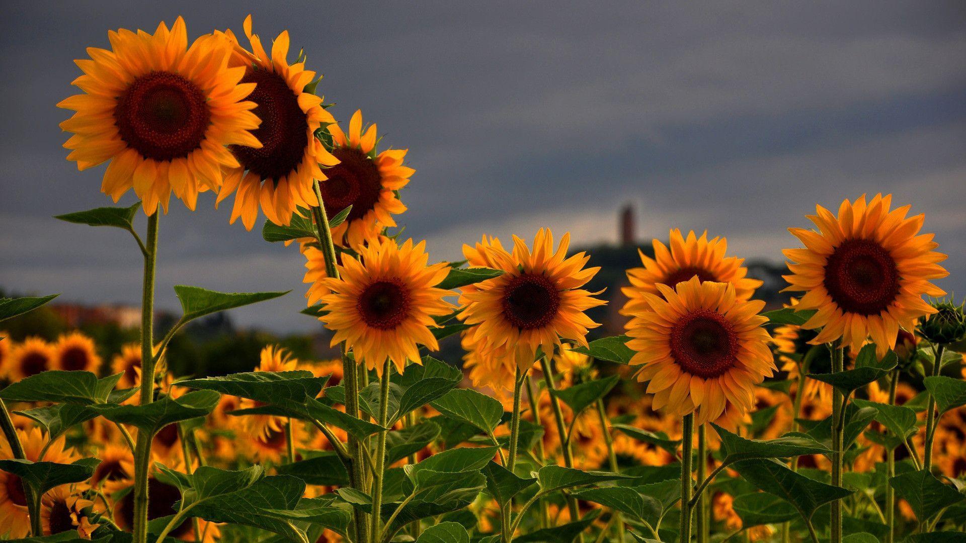 Sunflower Hd Wallpapers Top Free Sunflower Hd Backgrounds Wallpaperaccess