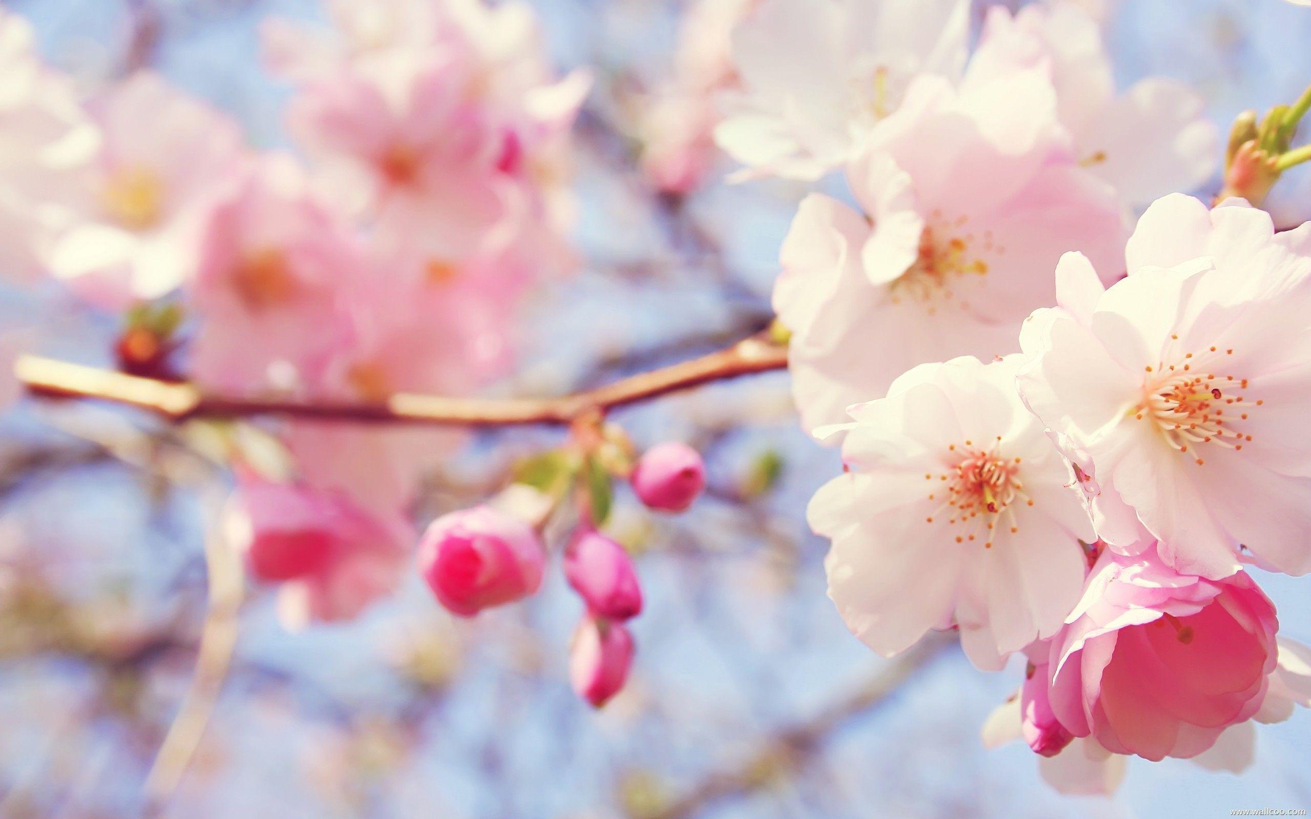 Pink Flowers Hd Wallpapers Top Free Pink Flowers Hd