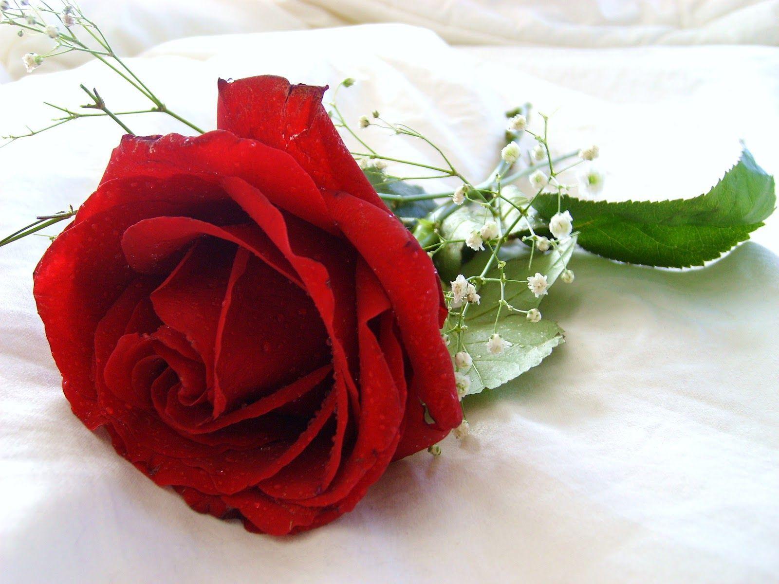 Rose Flower Wallpapers - Top Free Rose