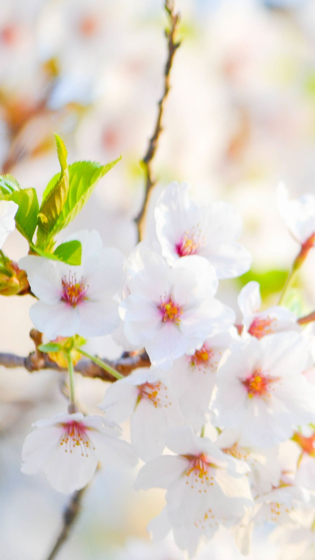 White Flower Hd Wallpapers Top Free White Flower Hd