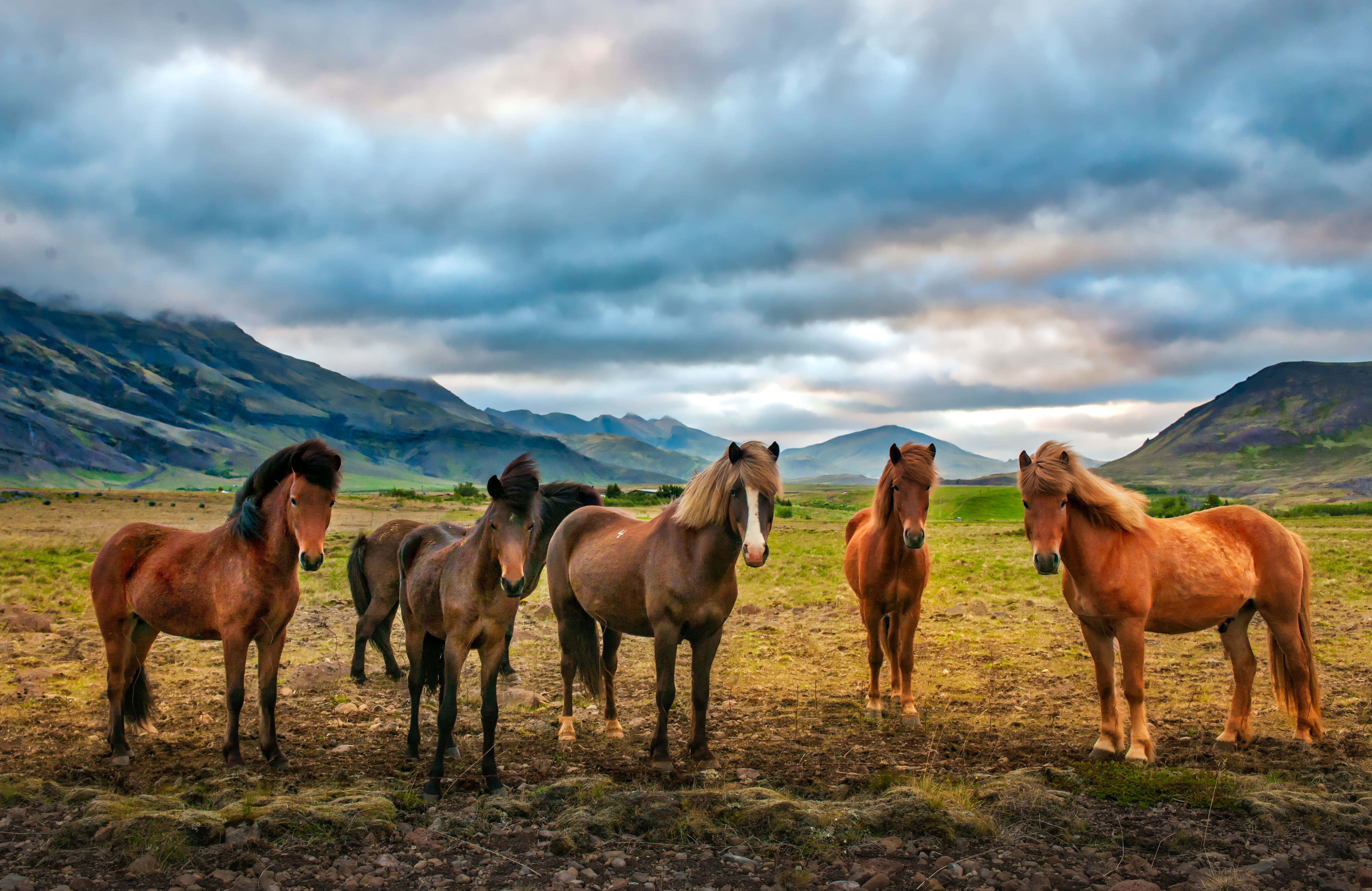 Iceland Horse Wallpapers Top Free Iceland Horse Backgrounds Wallpaperaccess