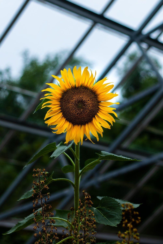 Black Sunflower Wallpapers - Top Free Black Sunflower ...