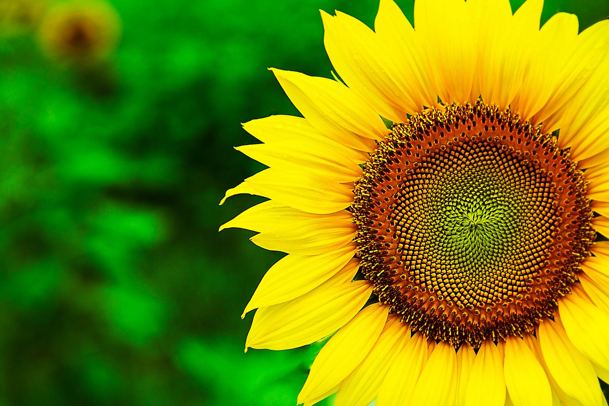 Black Sunflower Wallpapers Top Free Black Sunflower