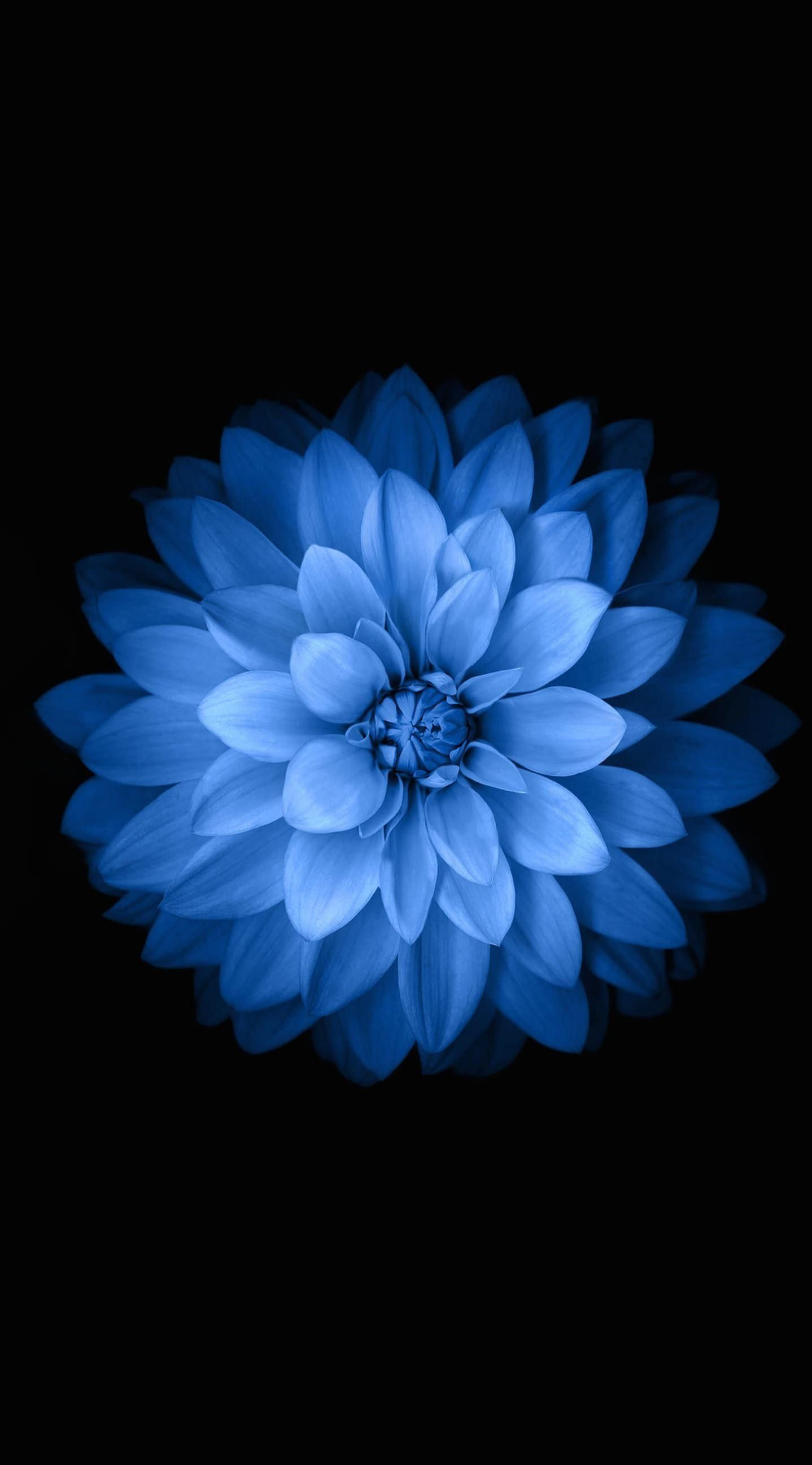 Blue Flowers Phone Wallpapers Top Free Blue Flowers Phone