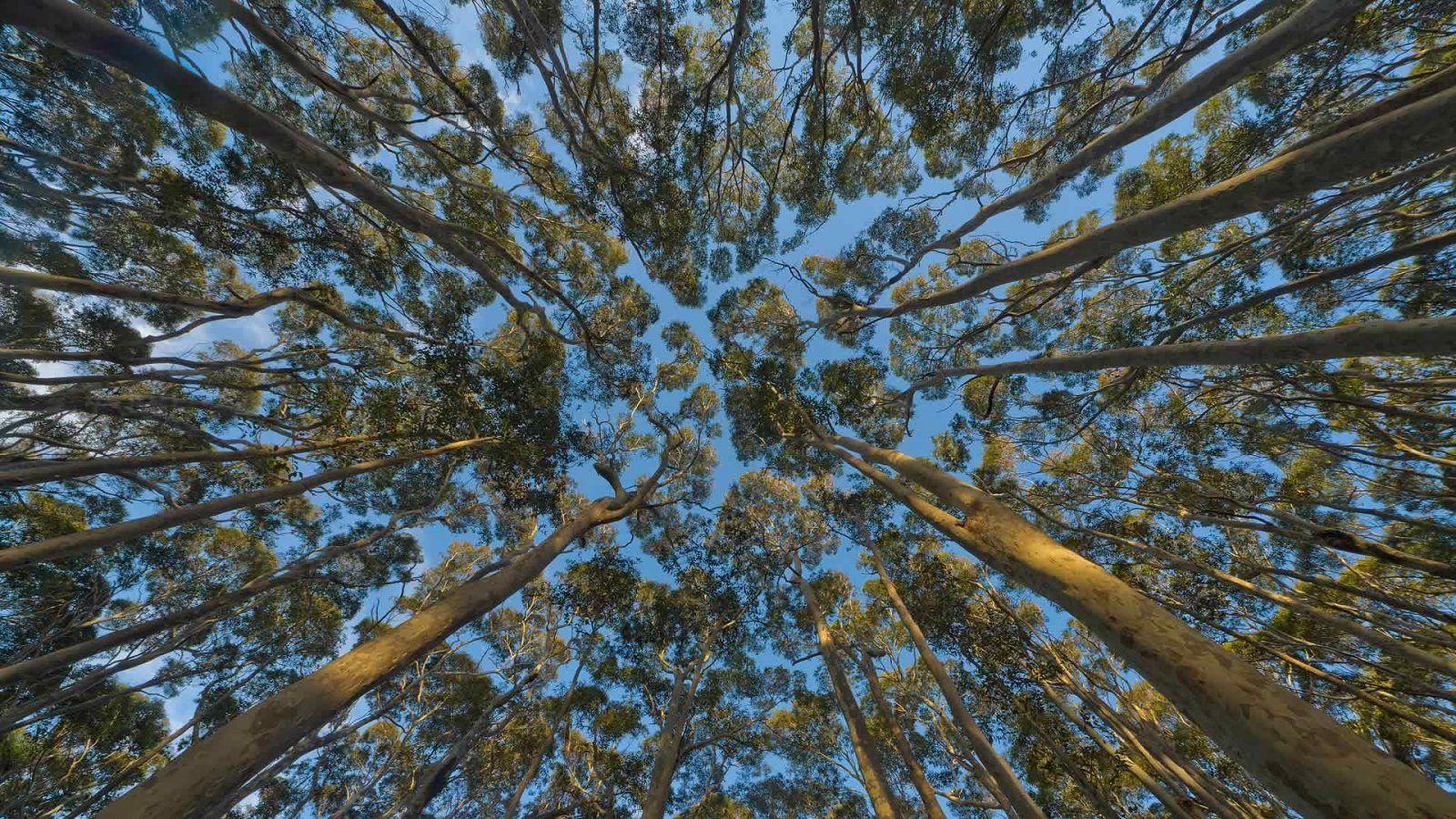 Eucalyptus Desktop Wallpapers Top Free Eucalyptus Desktop Backgrounds Wallpaperaccess
