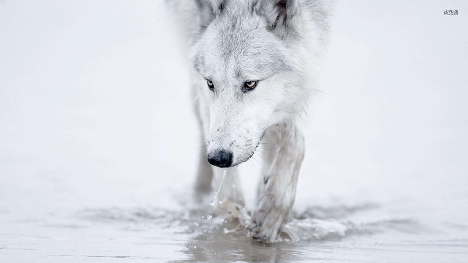 White Wolf Wallpapers Top Free White Wolf Backgrounds Wallpaperaccess