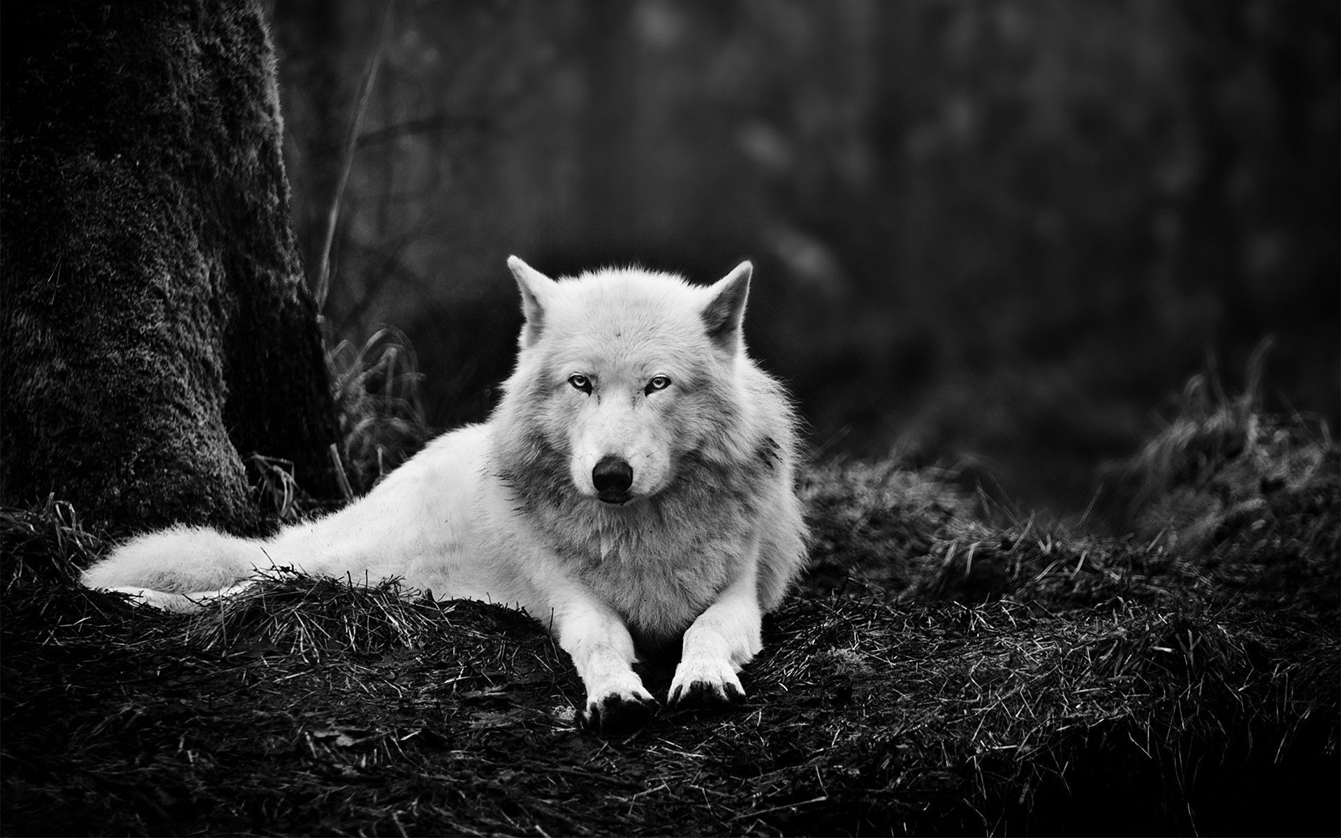 Snow Wolf Wallpapers Top Free Snow Wolf Backgrounds Wallpaperaccess