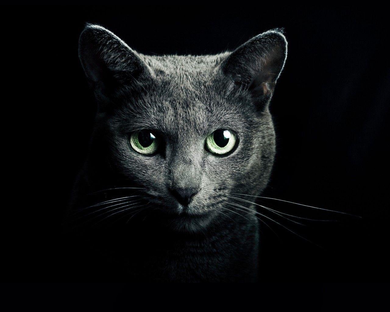 Russian Blue Cat Wallpapers Top Free Russian Blue Cat Backgrounds Wallpaperaccess