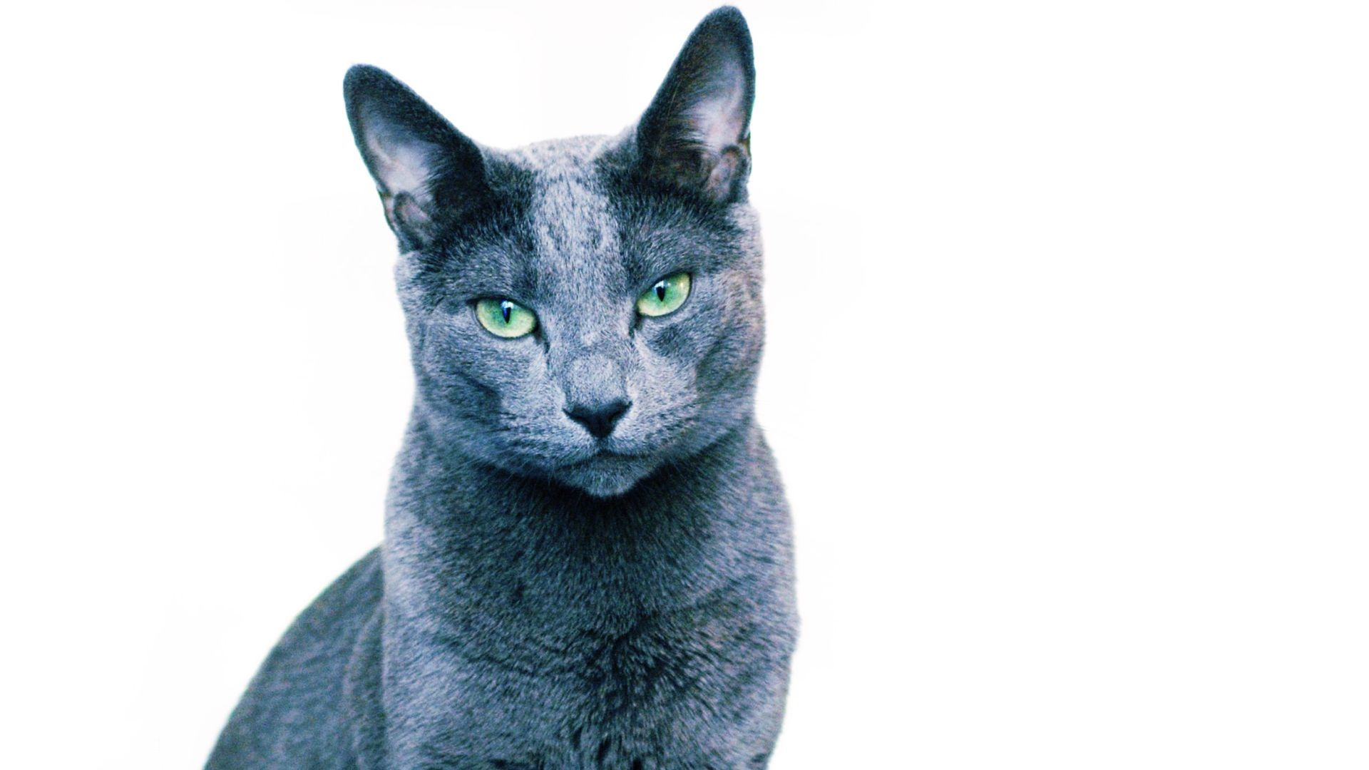 Russian Blue Cat Wallpapers - Top Free Russian Blue Cat