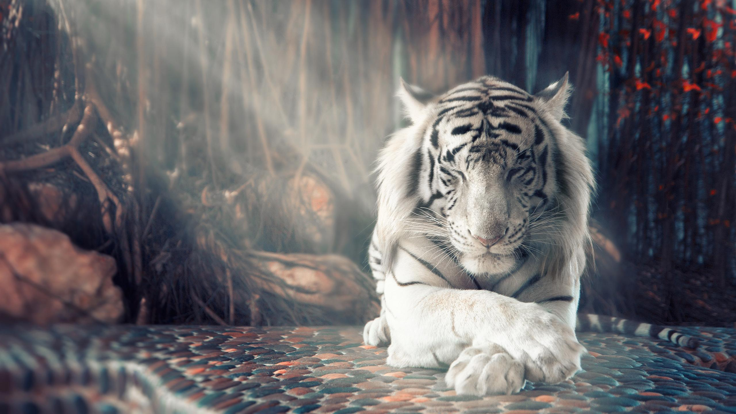 White Tiger Wallpapers Top Free White Tiger Backgrounds Wallpaperaccess