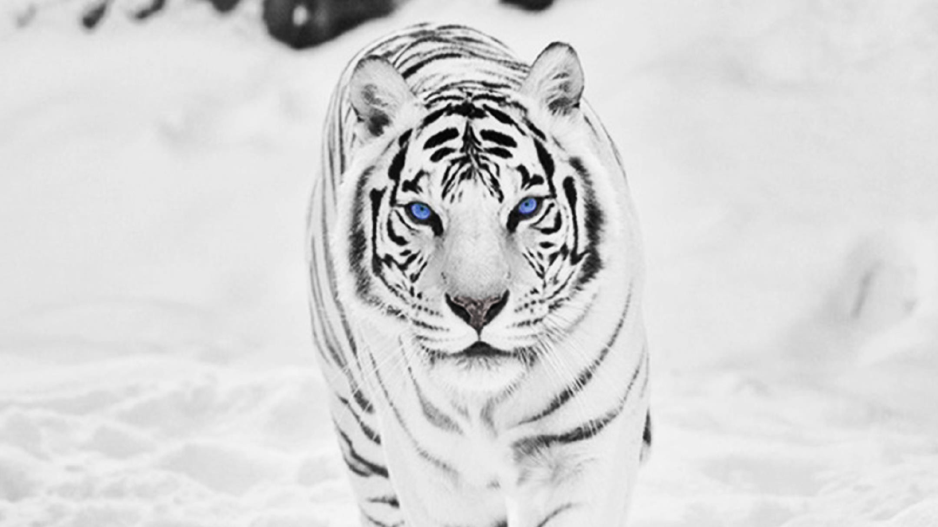 White Tiger Hd Wallpapers Top Free White Tiger Hd Backgrounds Wallpaperaccess
