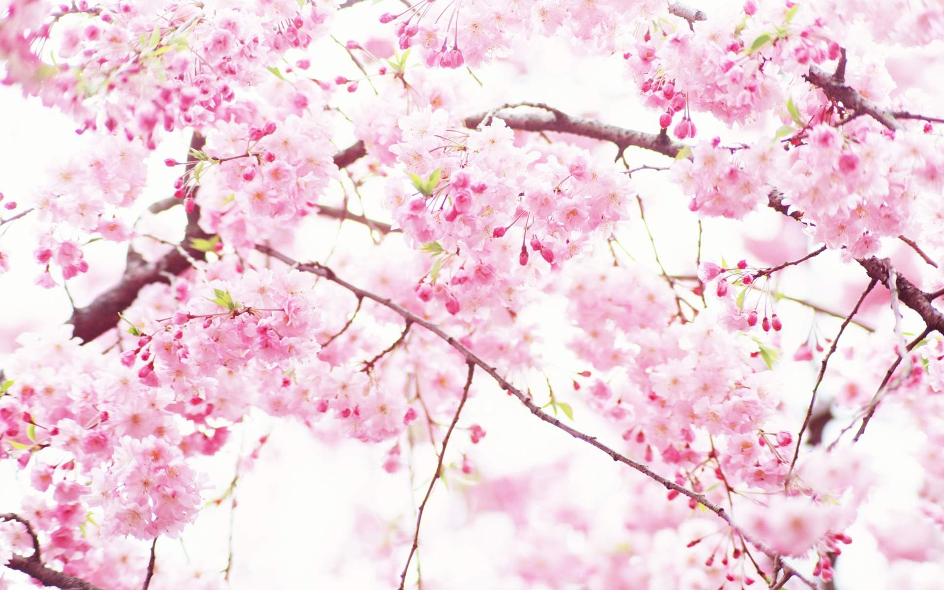 Pink And White Flowers Wallpapers Top