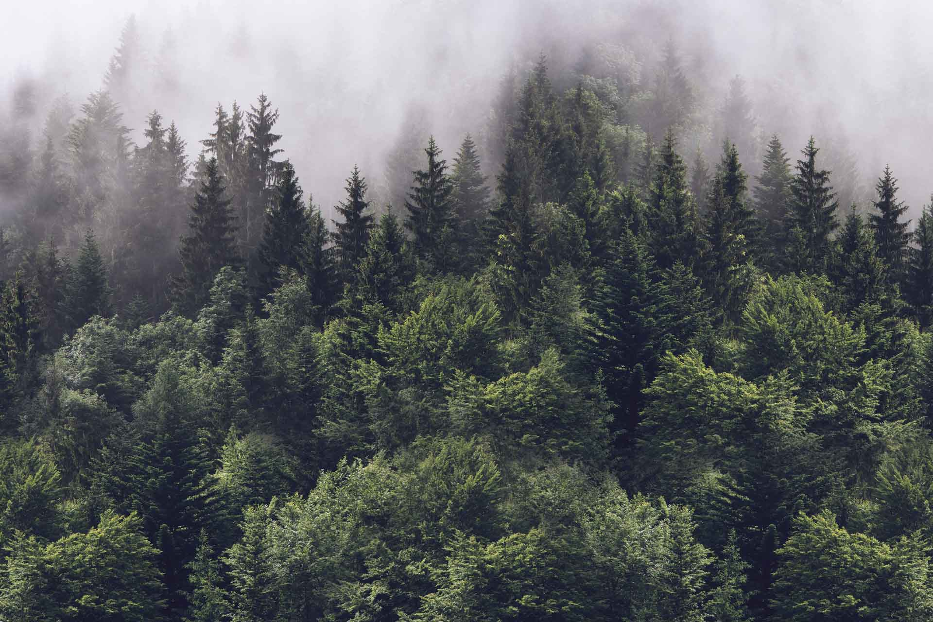 Misty Forest Wallpapers Top Free Misty Forest Backgrounds Wallpaperaccess
