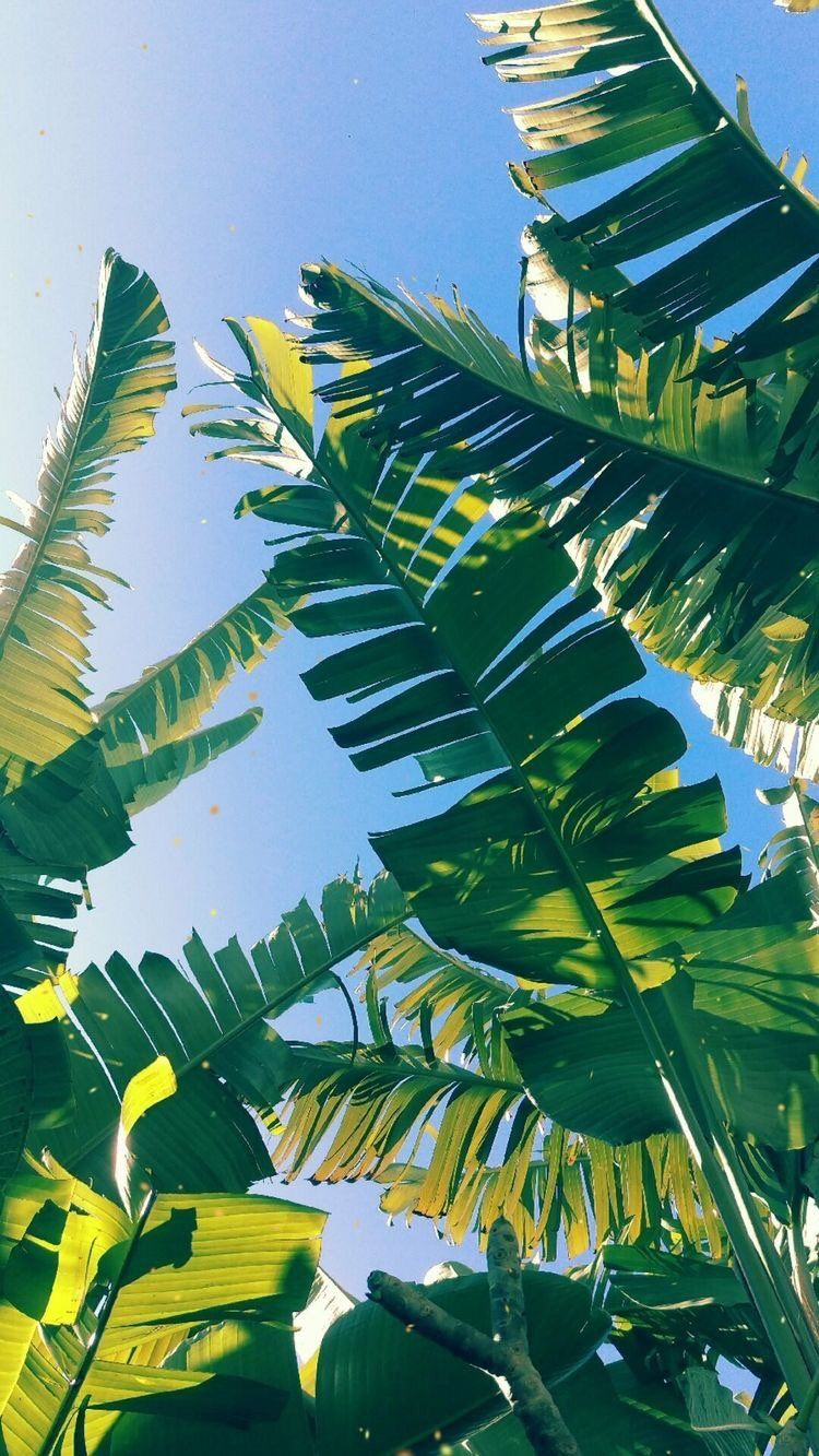 Palm Leaves Iphone Wallpapers Top Free Palm Leaves Iphone