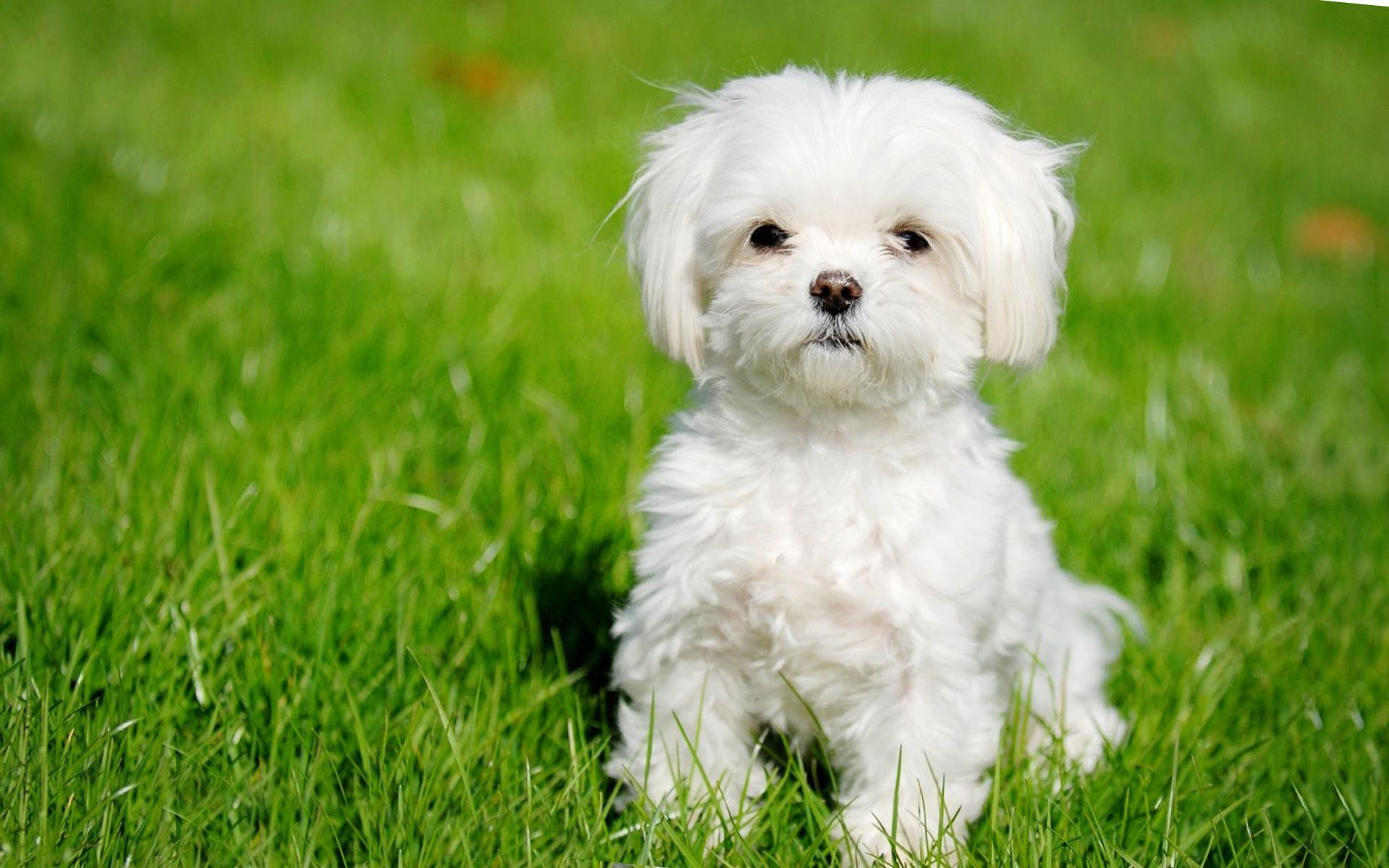 Cute Maltese Wallpapers Top Free Cute Maltese Backgrounds Wallpaperaccess