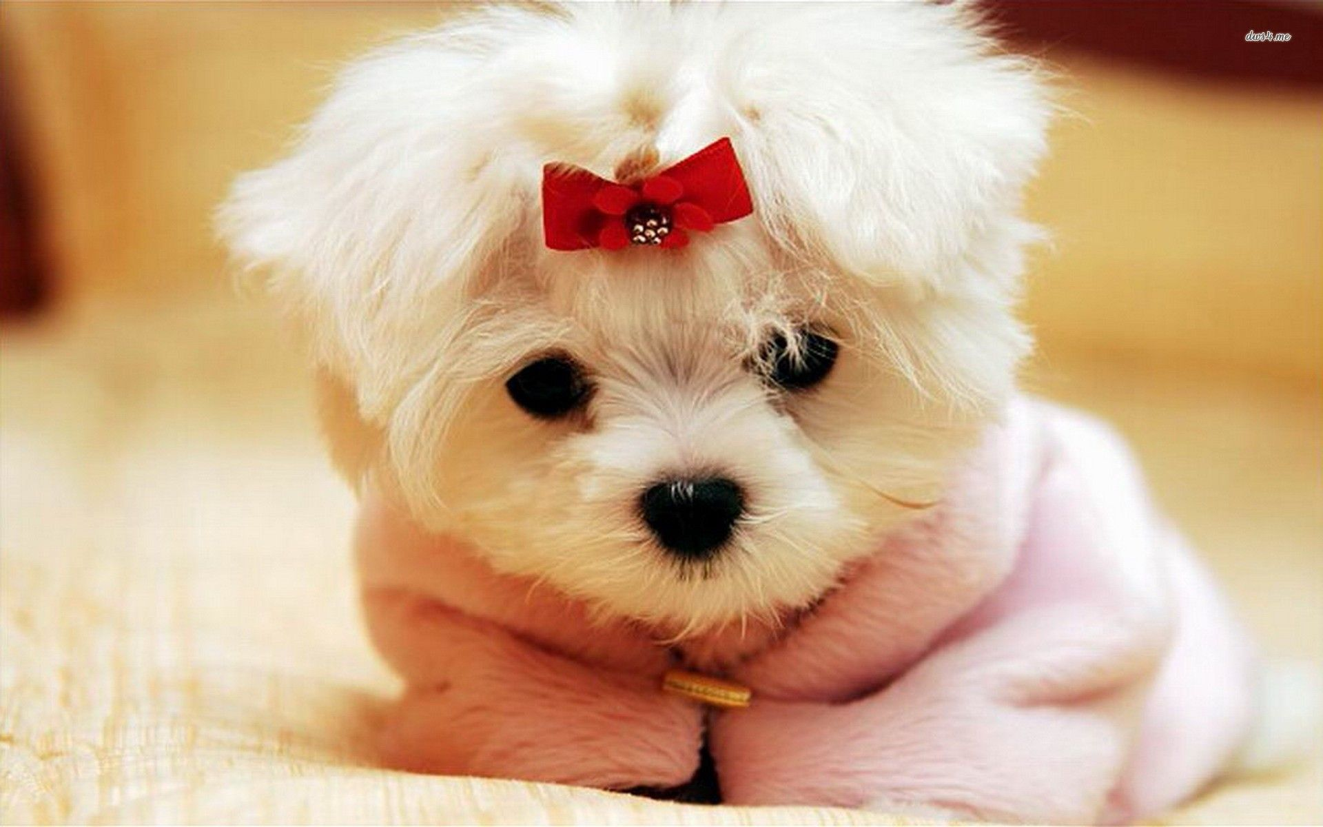 Girly Puppy Wallpapers Top Free Girly Puppy Backgrounds Wallpaperaccess