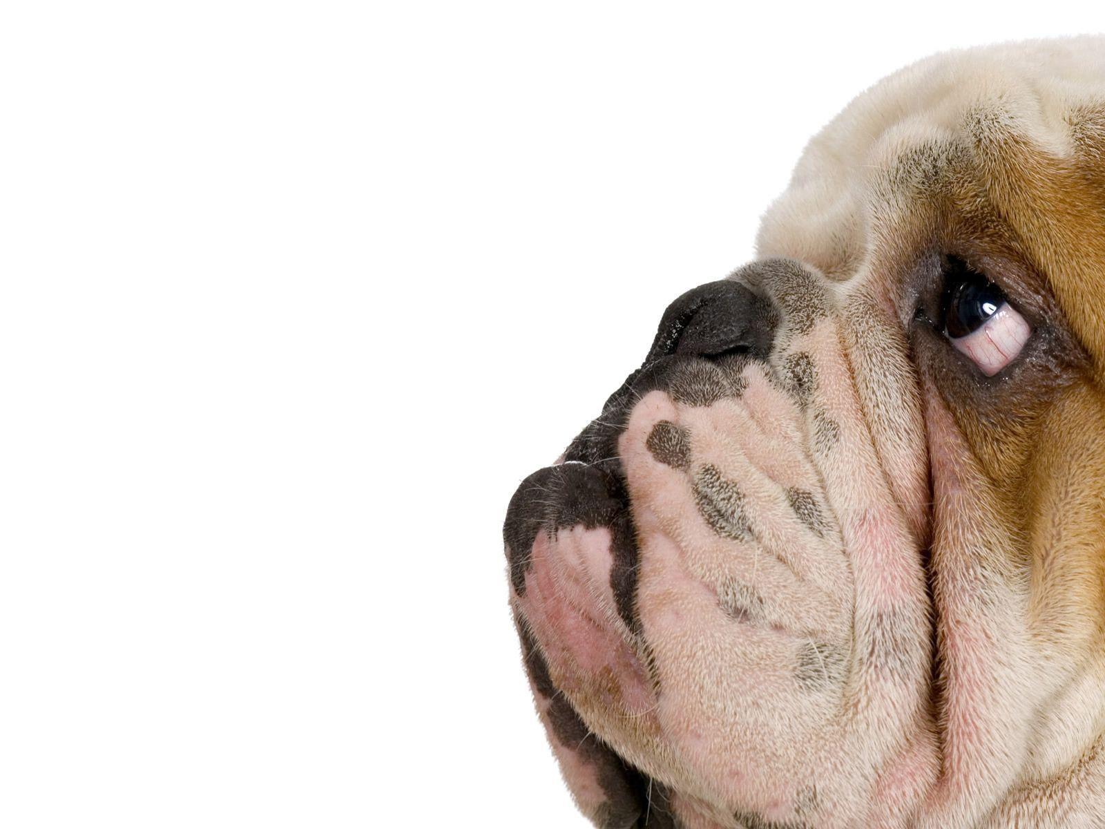 Bulldog Wallpapers Top Free Bulldog Backgrounds Wallpaperaccess