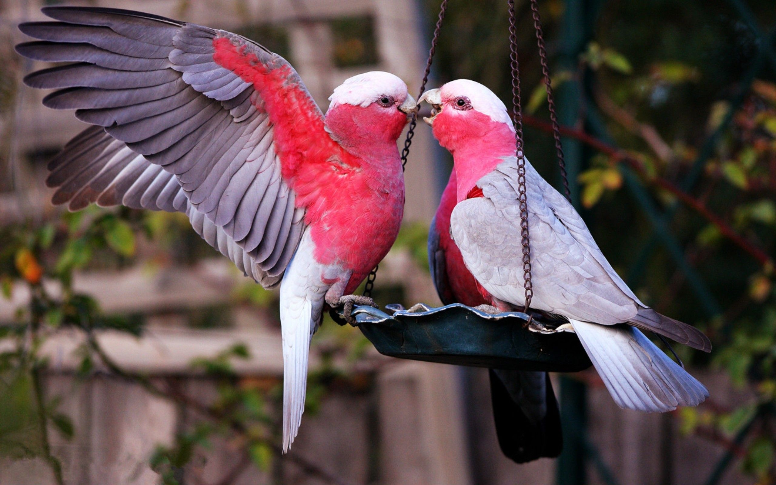 Love Birds Wallpapers Top Free Love Birds Backgrounds Wallpaperaccess