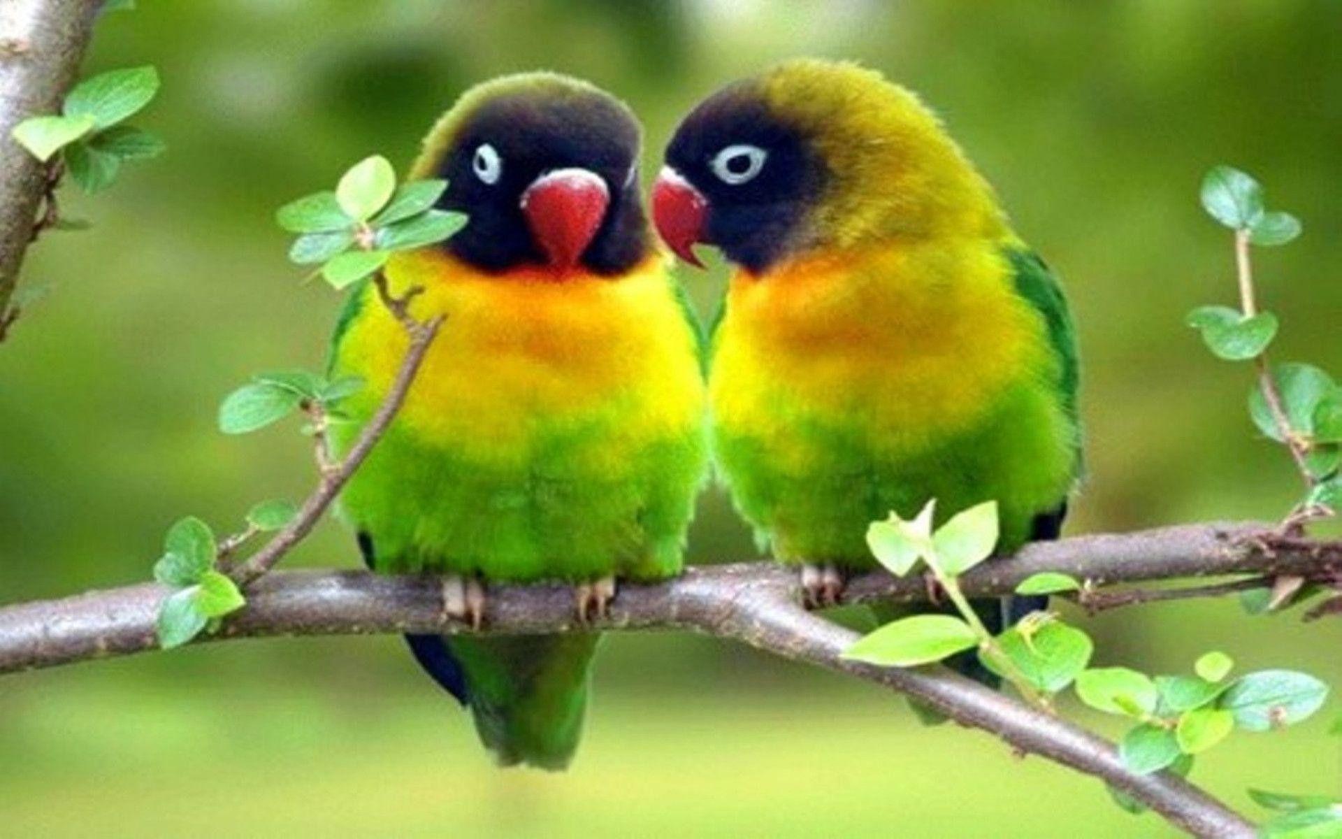 Love Birds Wallpapers Top Free Love Birds Backgrounds Wallpaperaccess