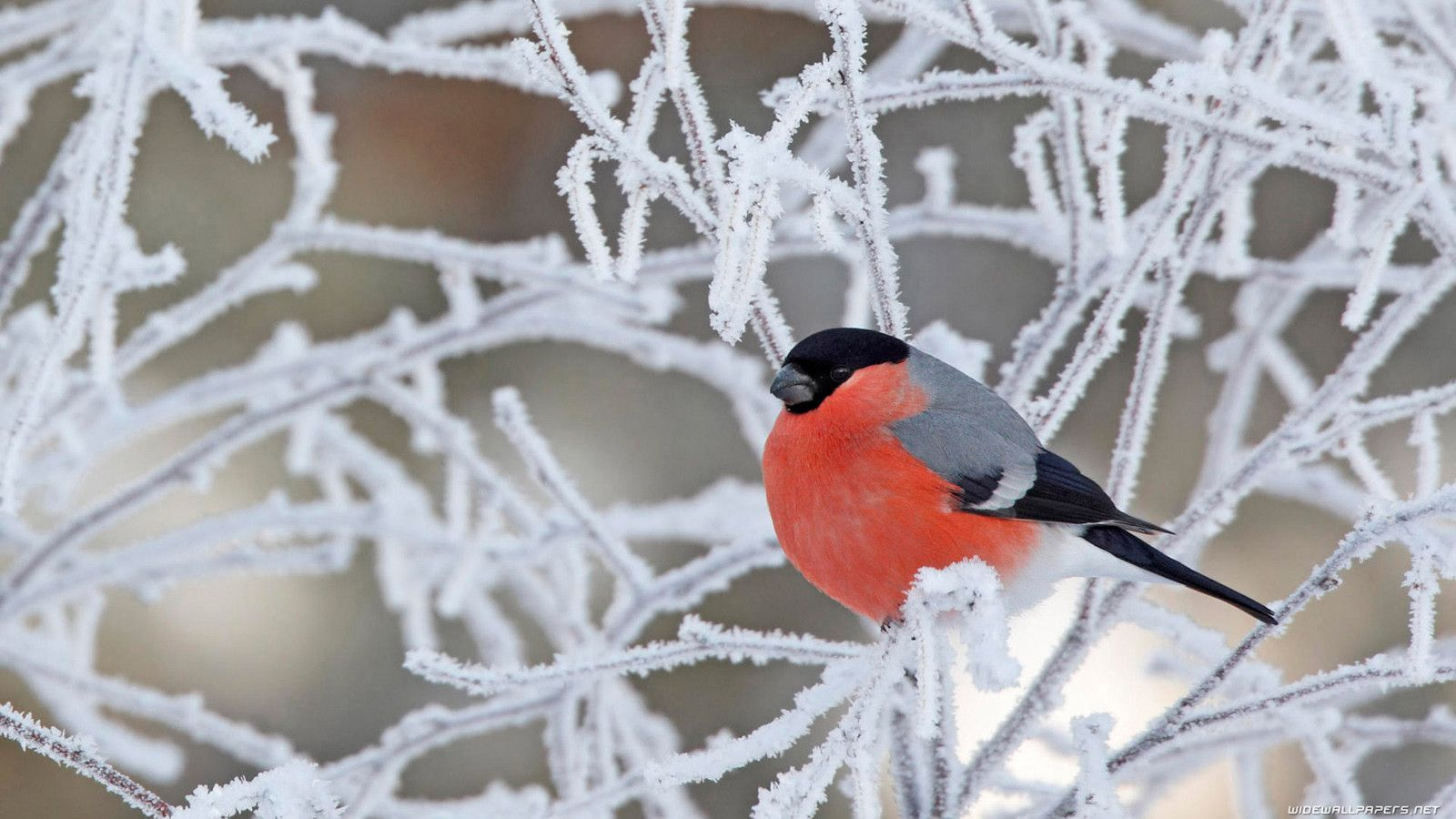Free Desktop Wallpaper Winter Birds