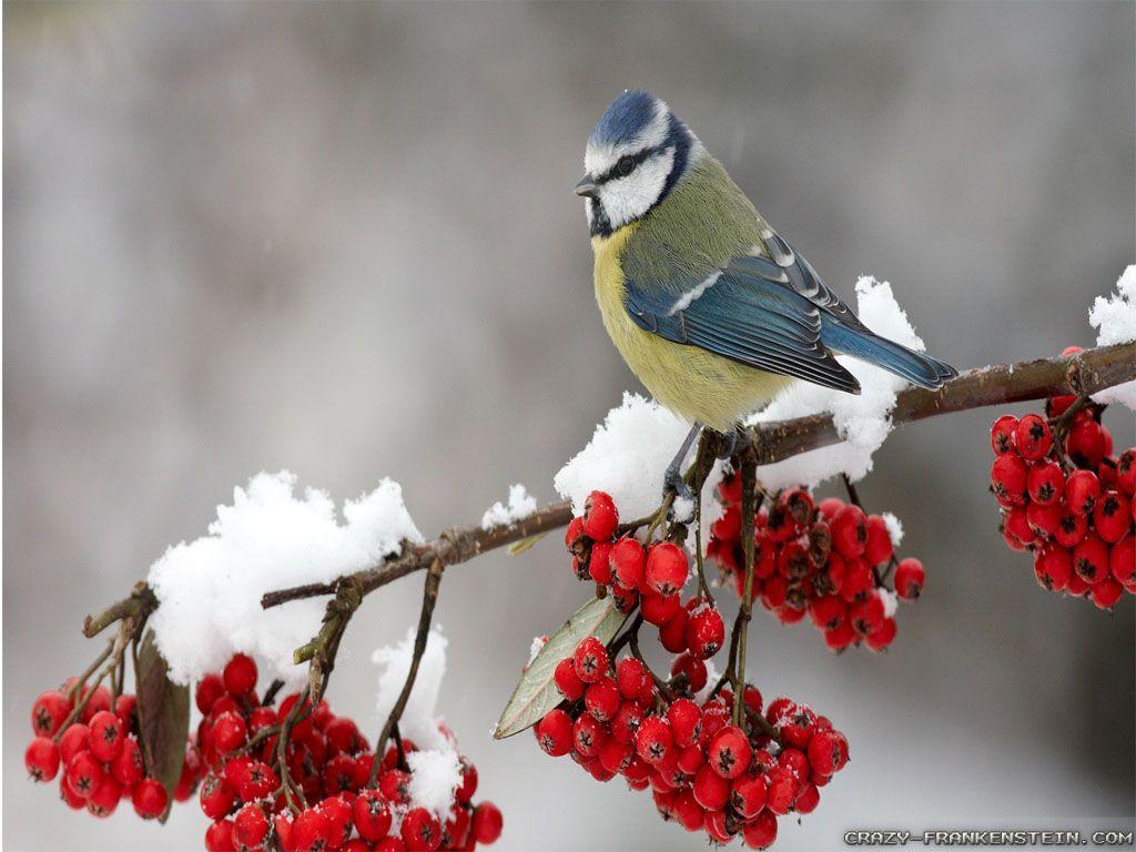 Winter Birds Desktop Wallpapers - Top ...