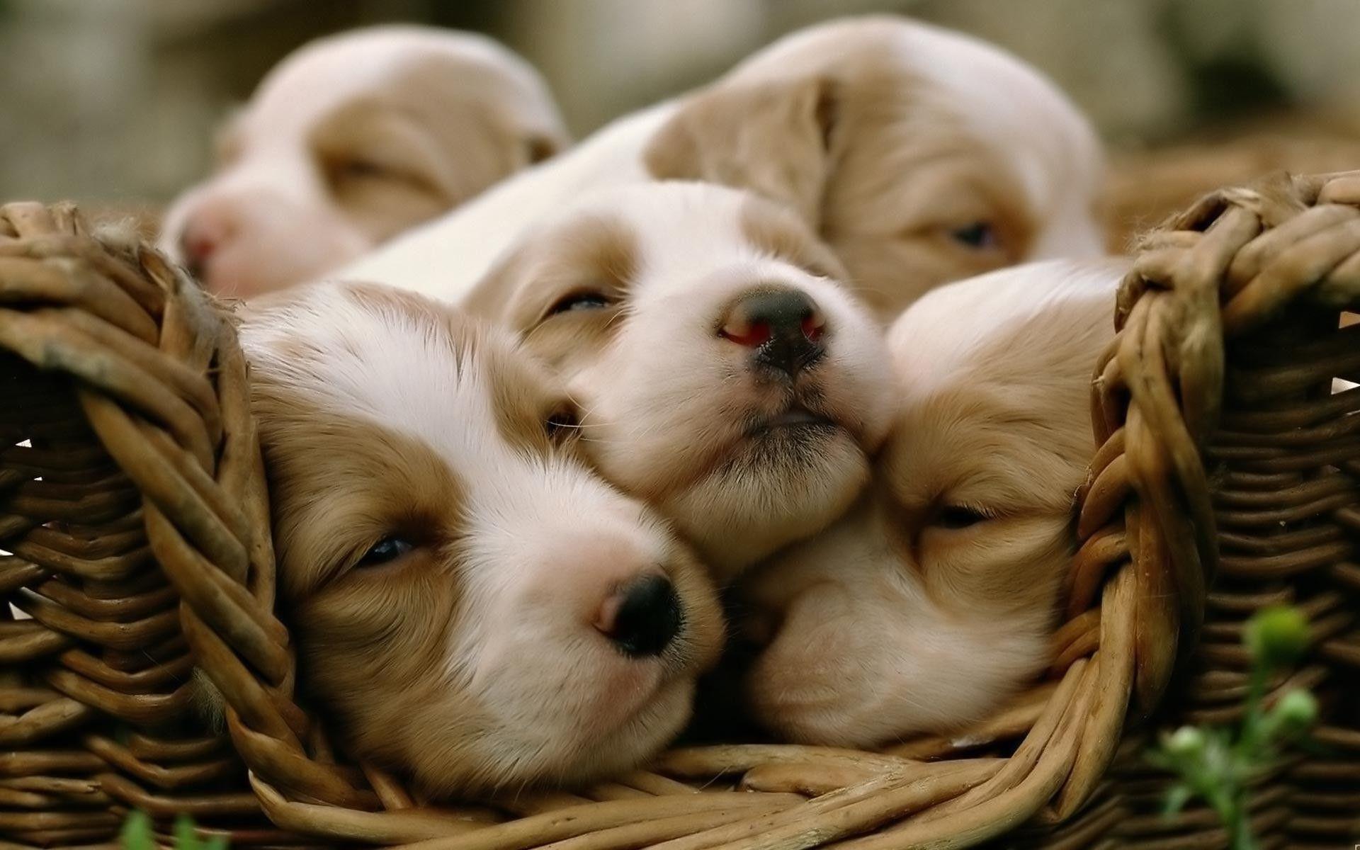 Cute Puppy Desktop Wallpapers Top Free Cute Puppy Desktop Backgrounds Wallpaperaccess