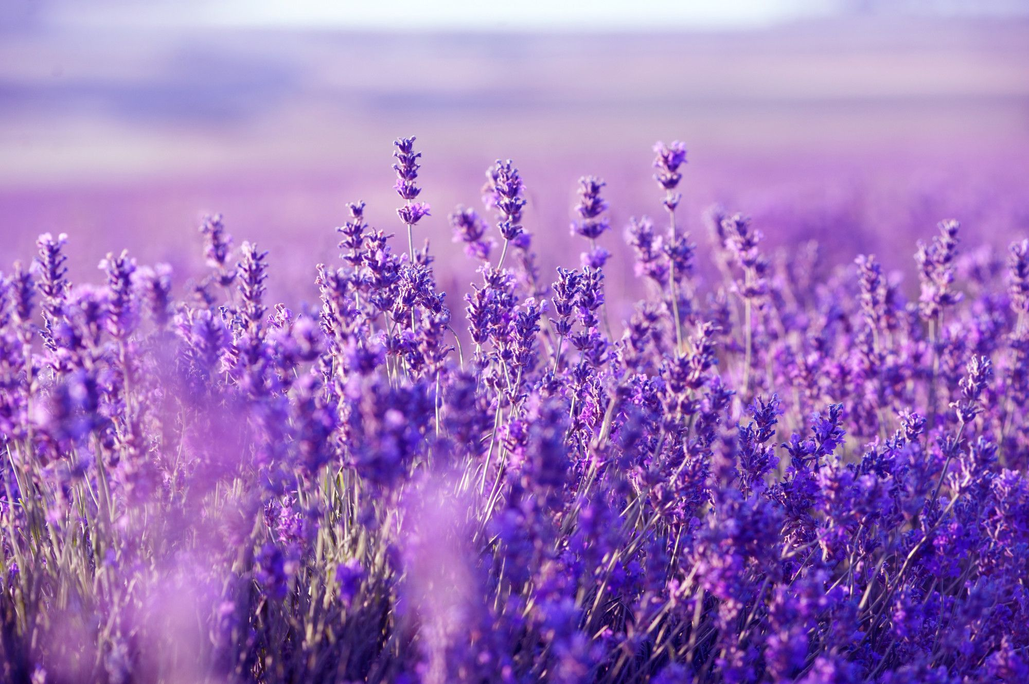 Lavender Desktop Wallpapers Top Free Lavender Desktop Backgrounds Wallpaperaccess New users enjoy 60% off. lavender desktop wallpapers top free
