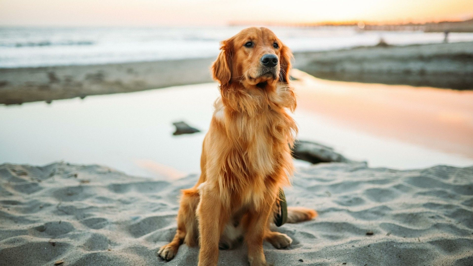 Golden Retrievers Wallpapers Top Free Golden Retrievers Backgrounds Wallpaperaccess